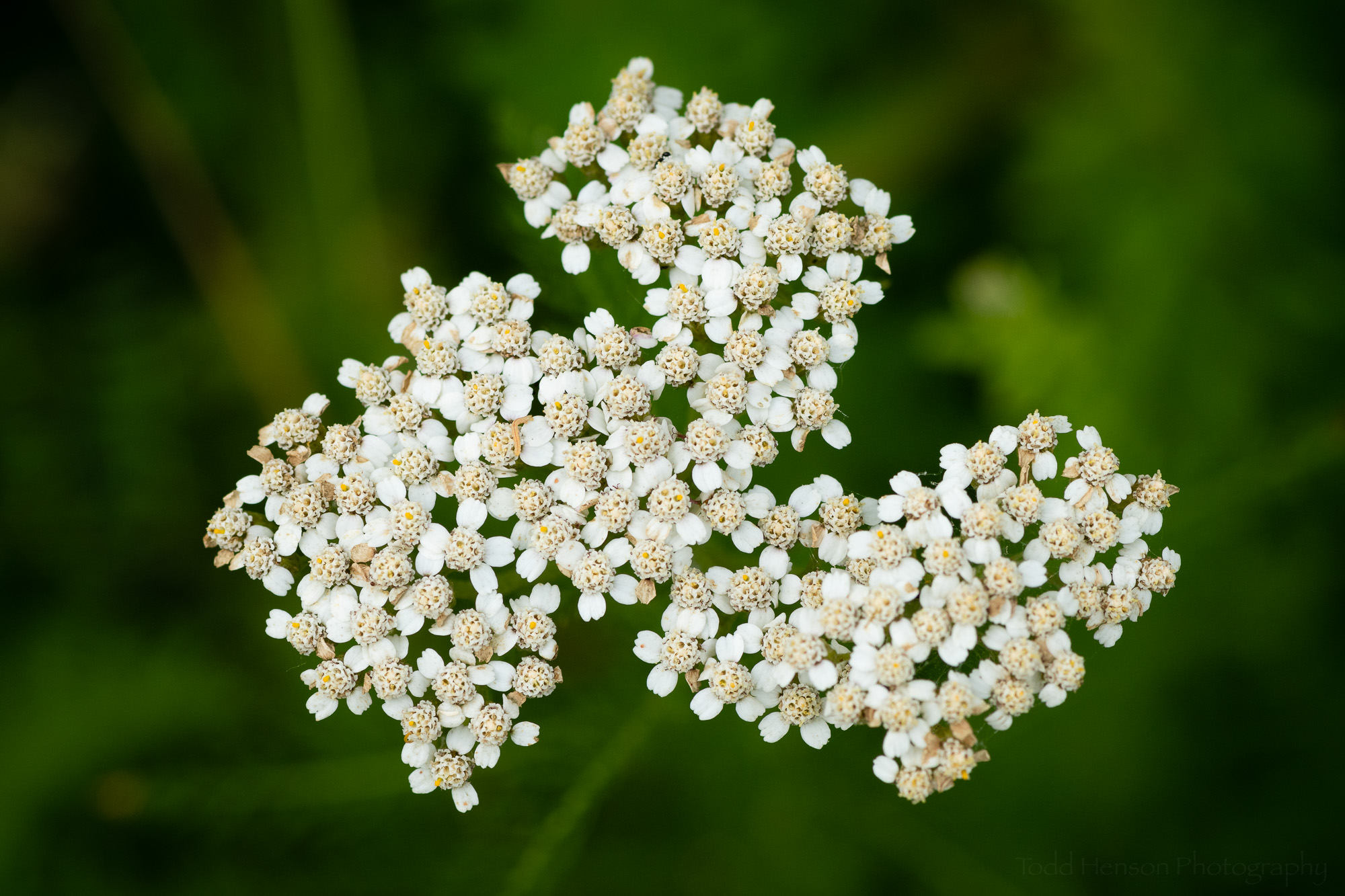 Common Yarrow, Occoquan Bay National Wildlife Refuge, Early June 2019