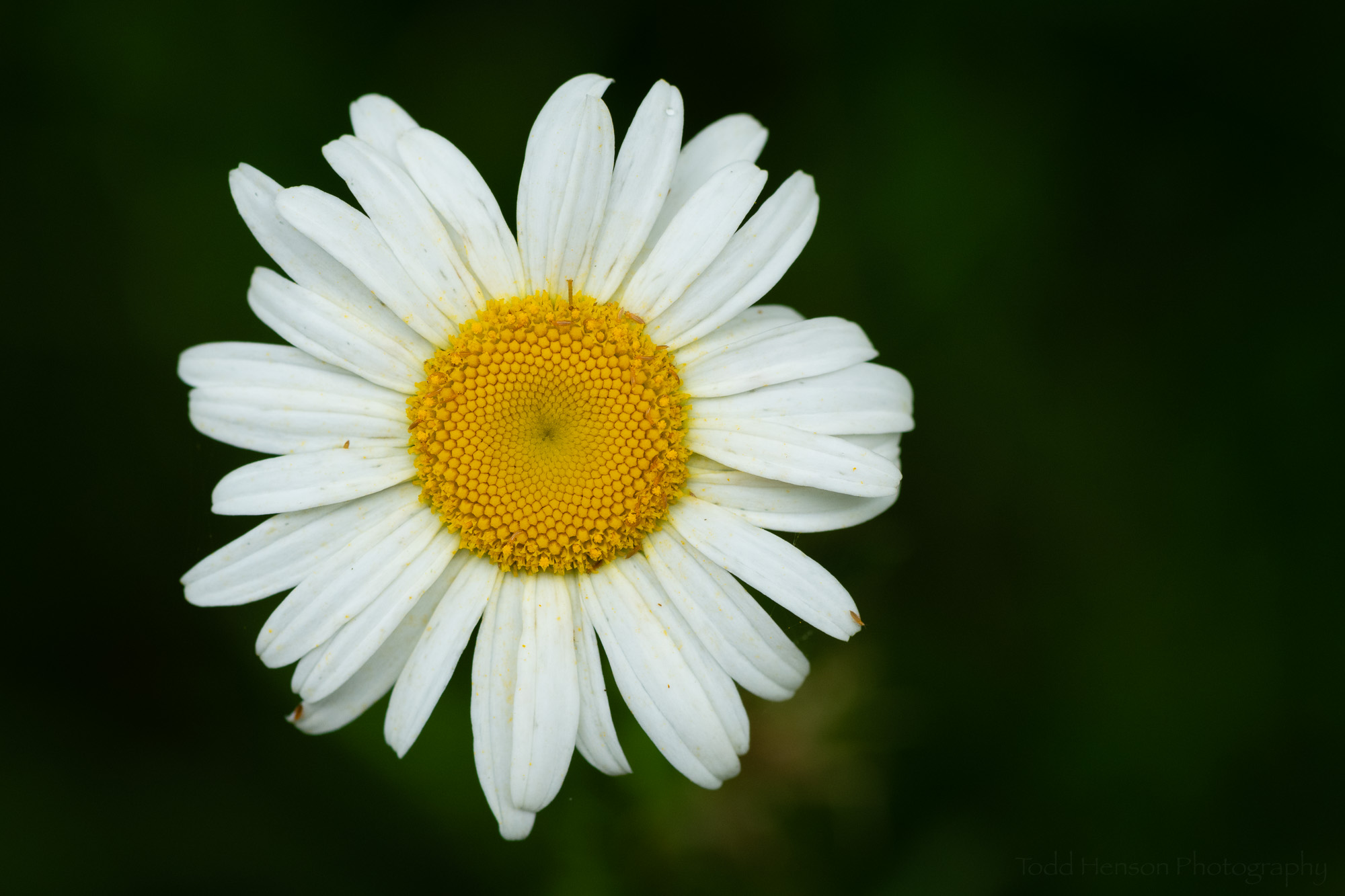 Oxeye Daisy Closeup, Occoquan Bay National Wildlife Refuge, Early June 2019