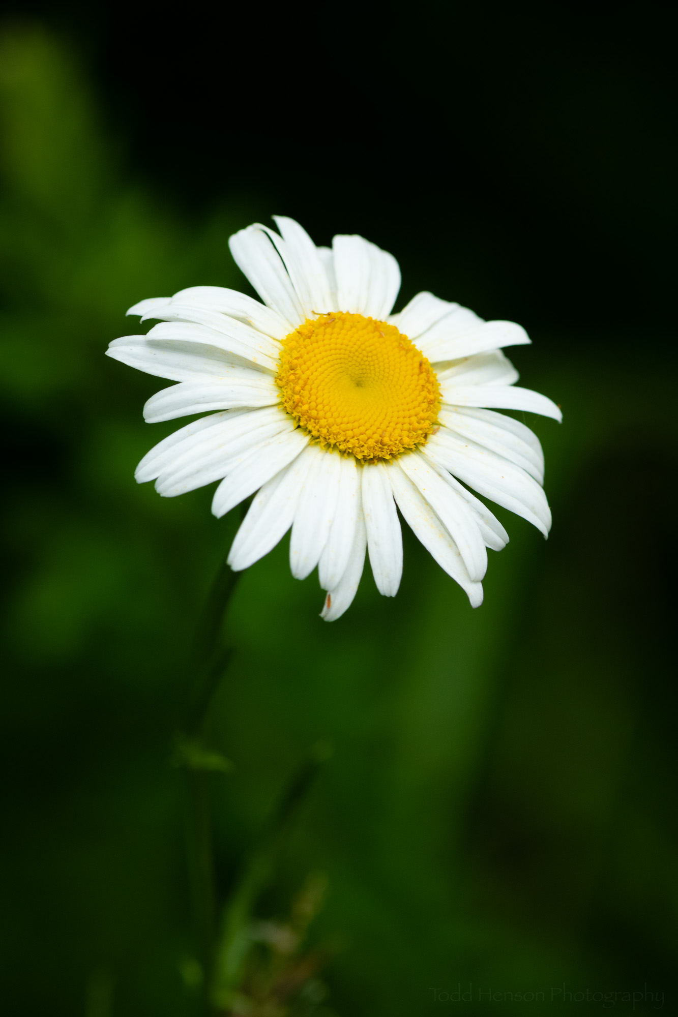 Oxeye Daisy, Occoquan Bay National Wildlife Refuge, Early June 2019