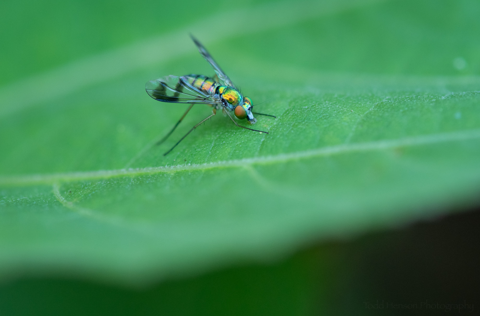 A Long-legged Fly on an hibiscus leaf.