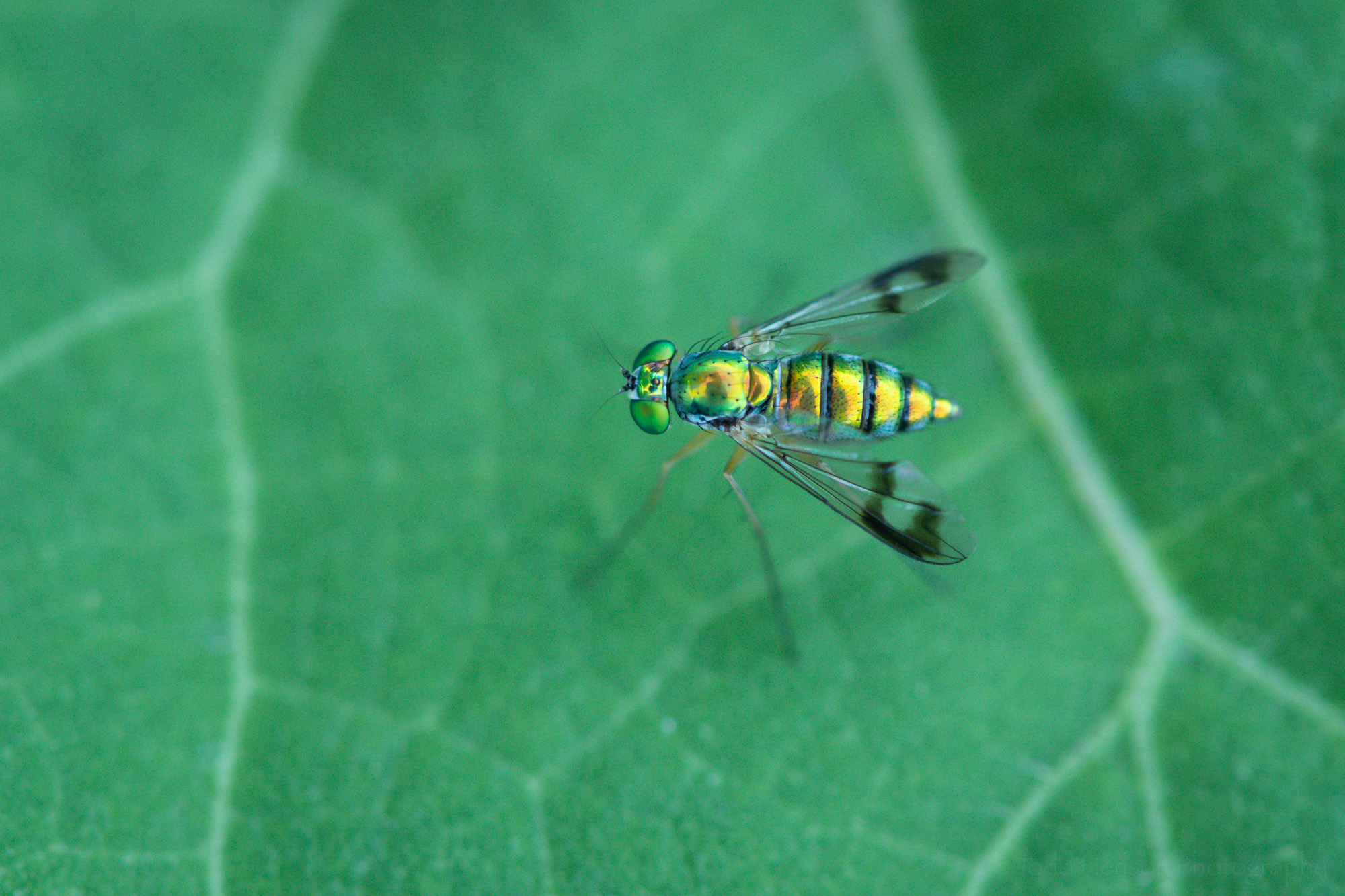 Top down view of an iridescent, metallic looking Long-legged Fly.