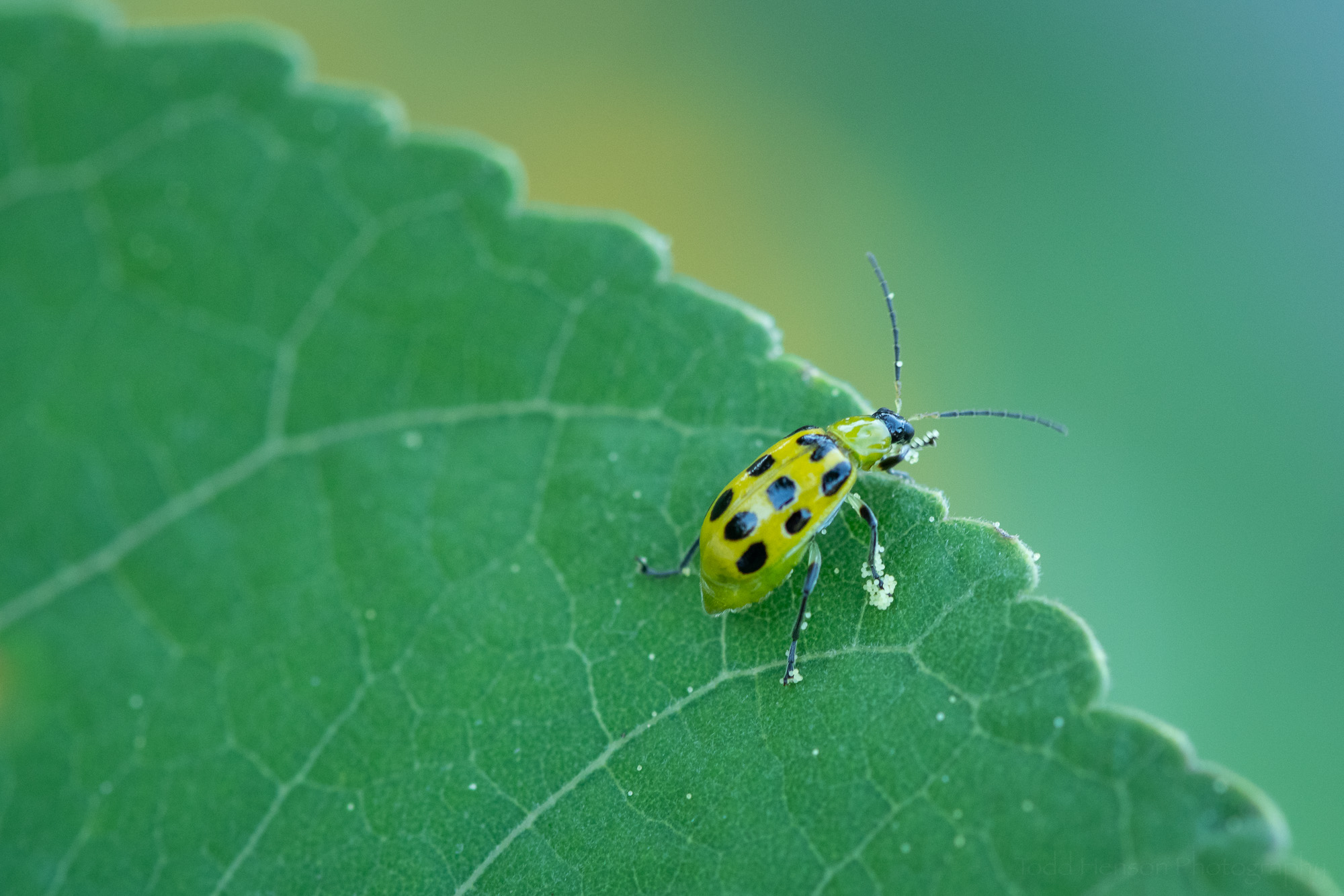A Spotted Cucumber Beetle with hibiscus pollen on its legs.