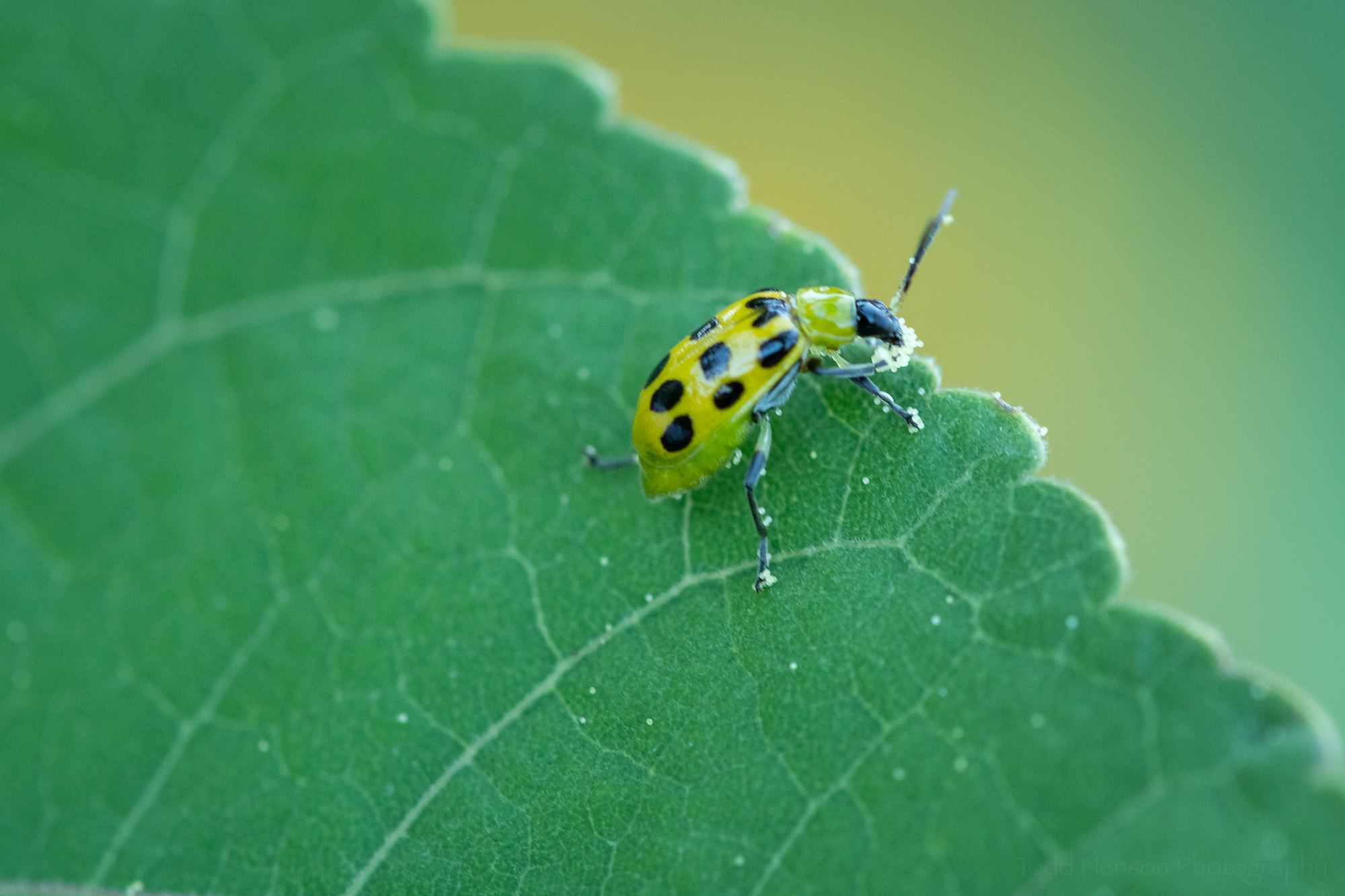 A Spotted Cucumber Beetle eating the hibiscus pollen off its front legs.