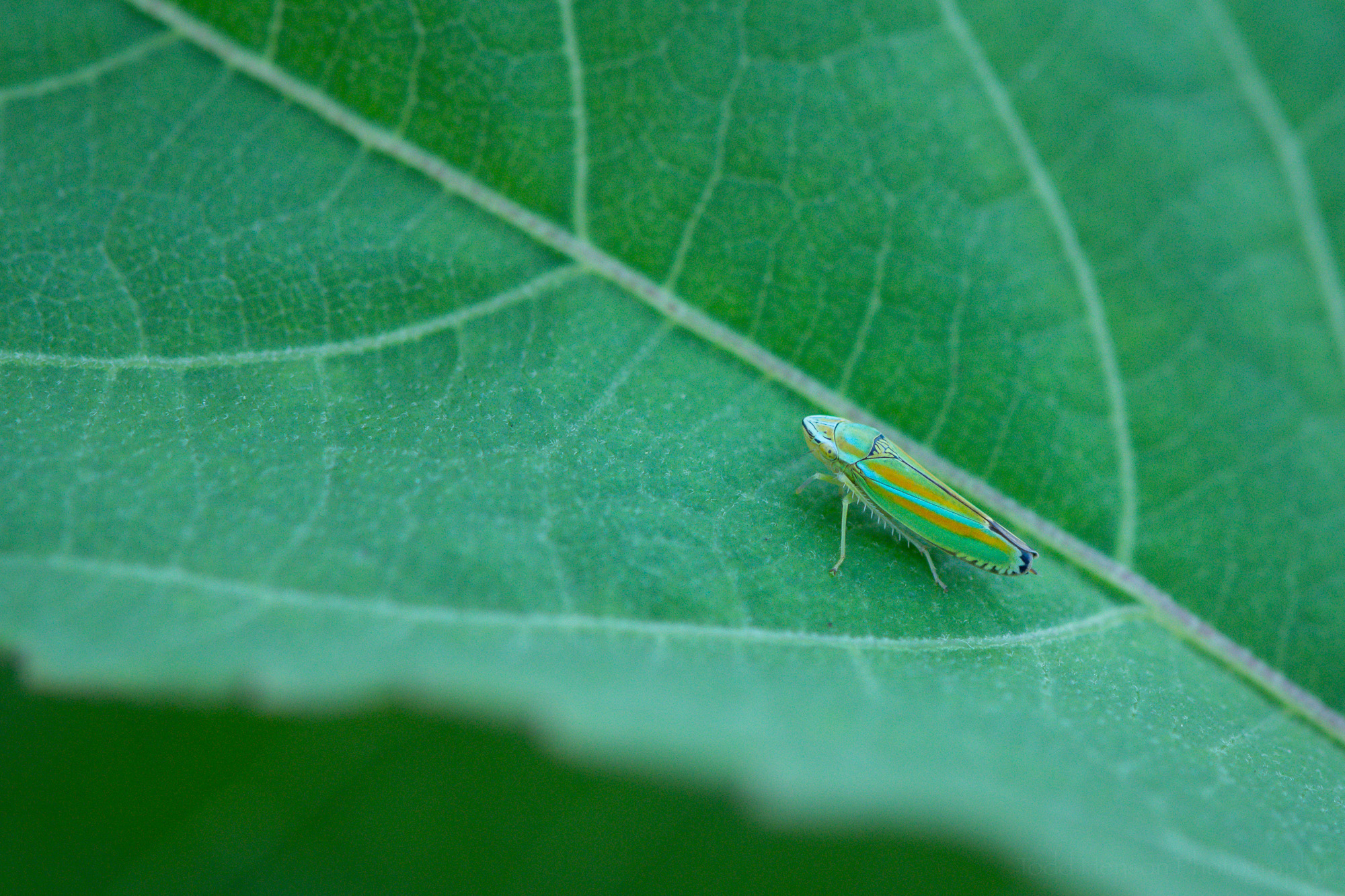 Versute Sharpshooter Leafhopper on an hibiscus leaf.