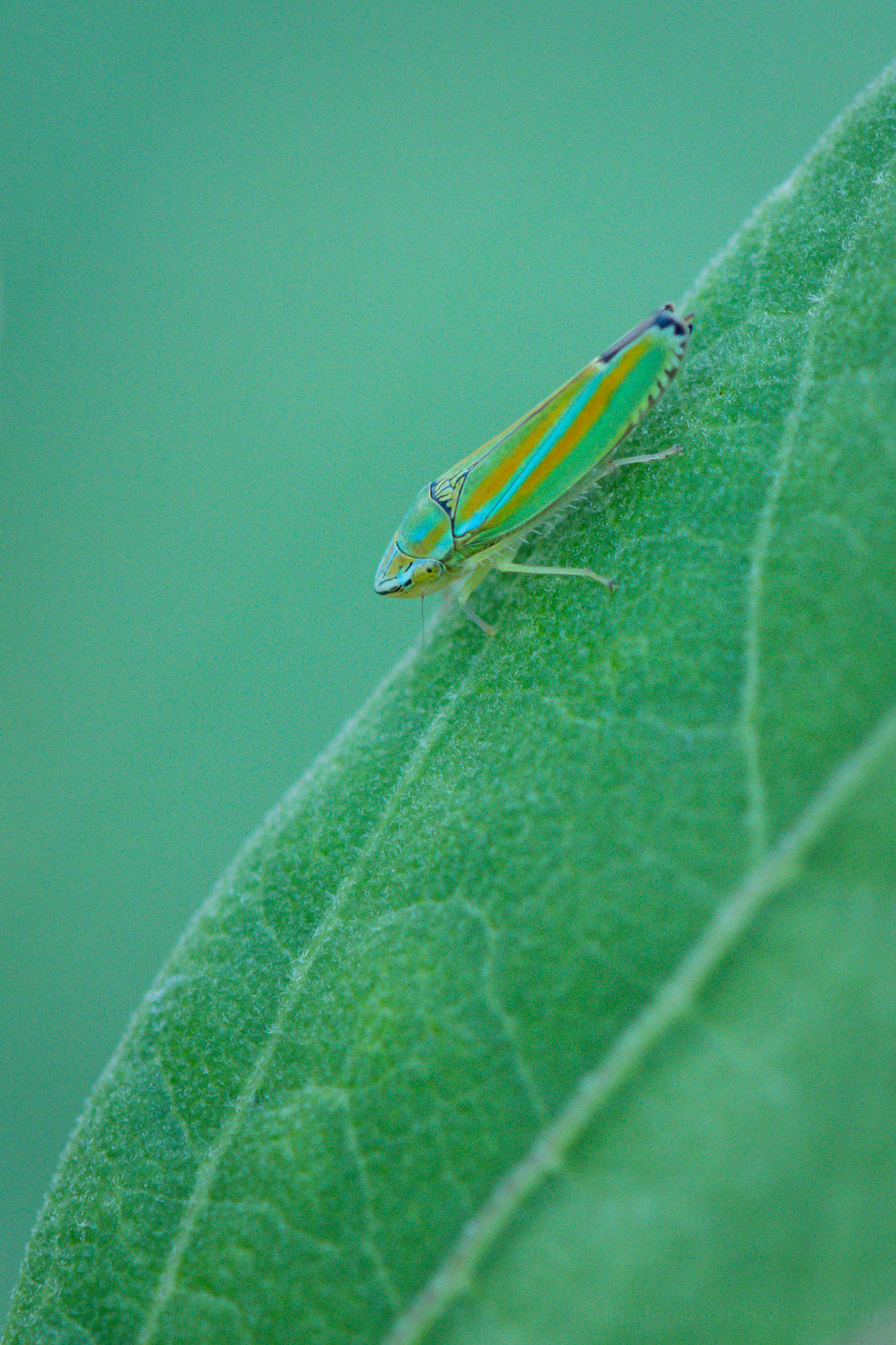 Versute Sharpshooter Leafhopper on the edge of an hibiscus leaf.