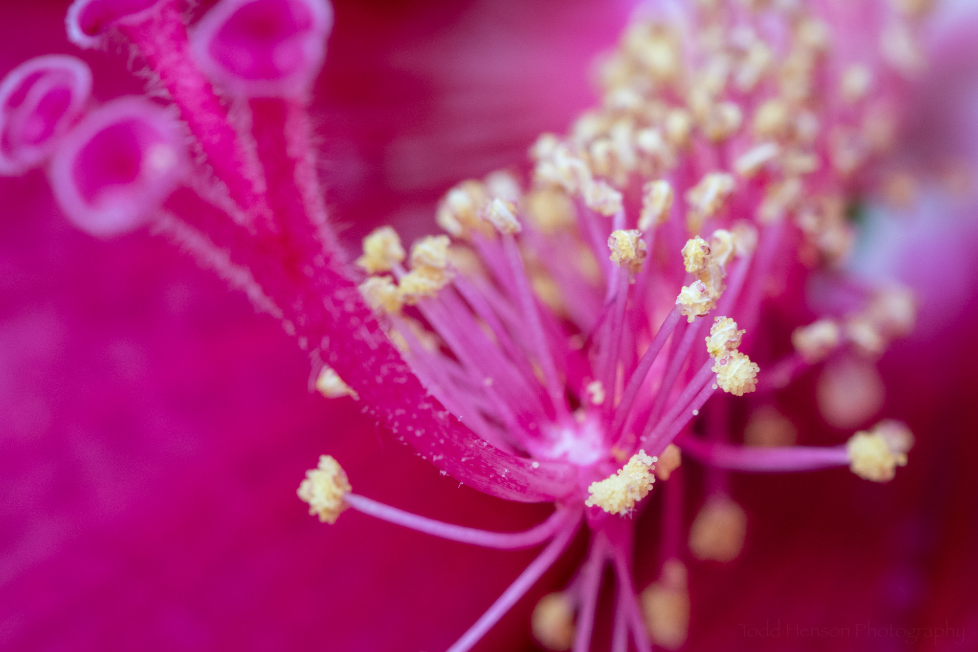 Notice the yellow grains of pollen of the hibiscus flower.