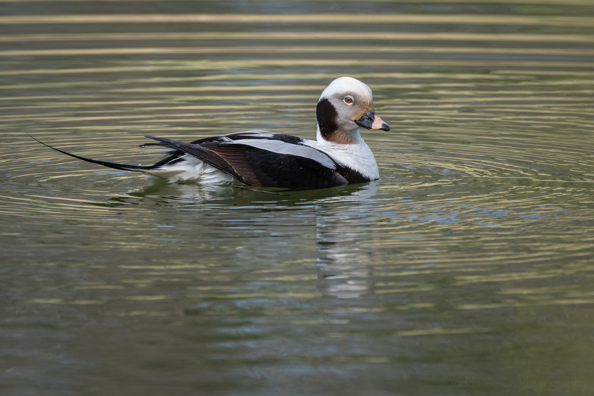 Elegance of a Long-tailed Duck