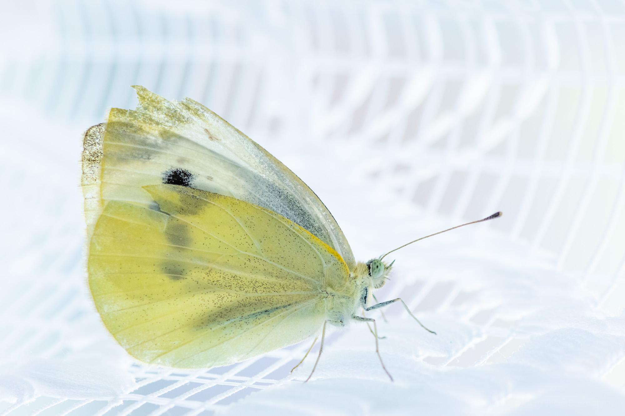 A female Cabbage White butterfly backlit on white lace curtains.