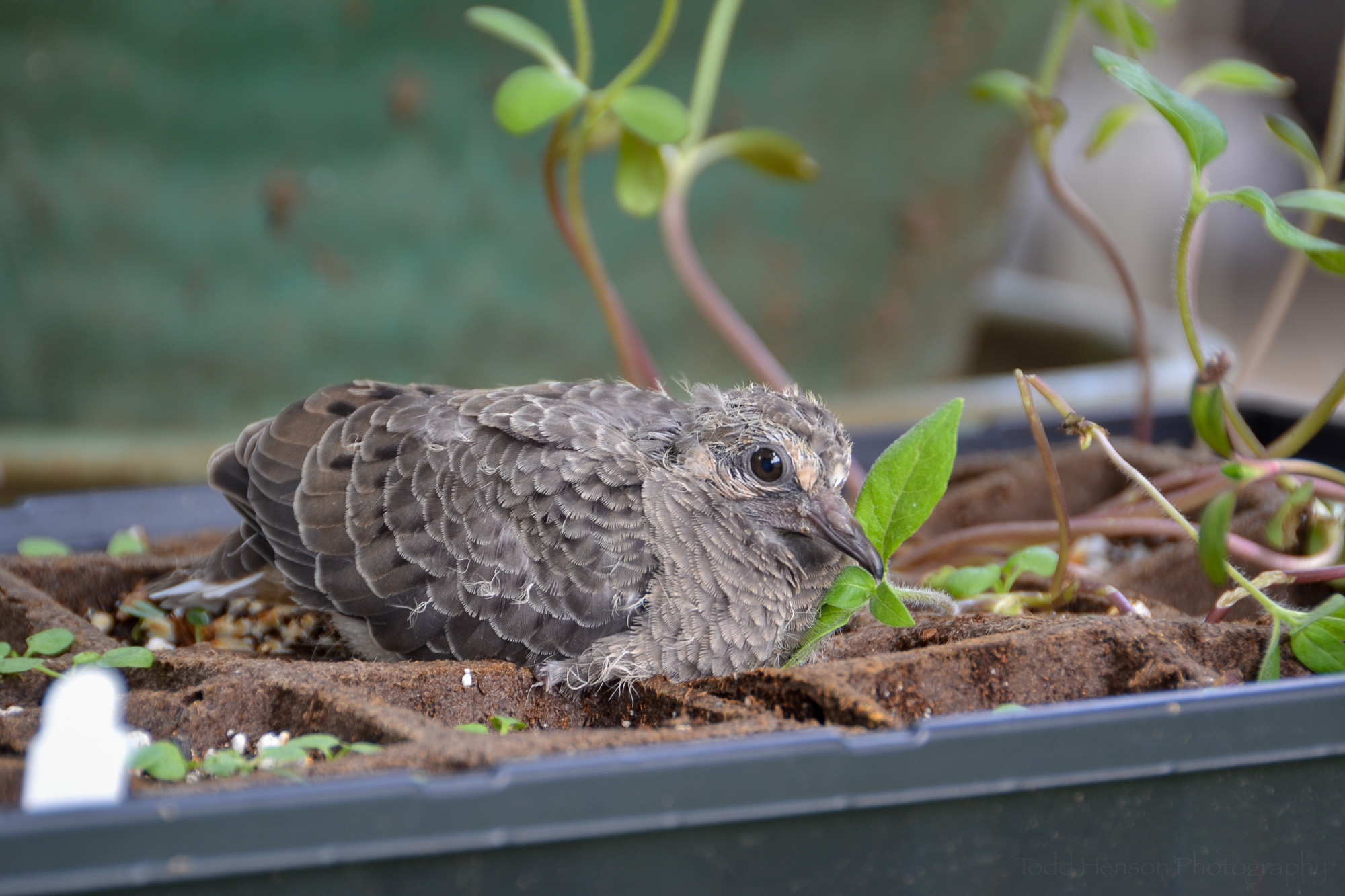 A parting shot of the young Mourning Dove resting atop the box of sprouts.