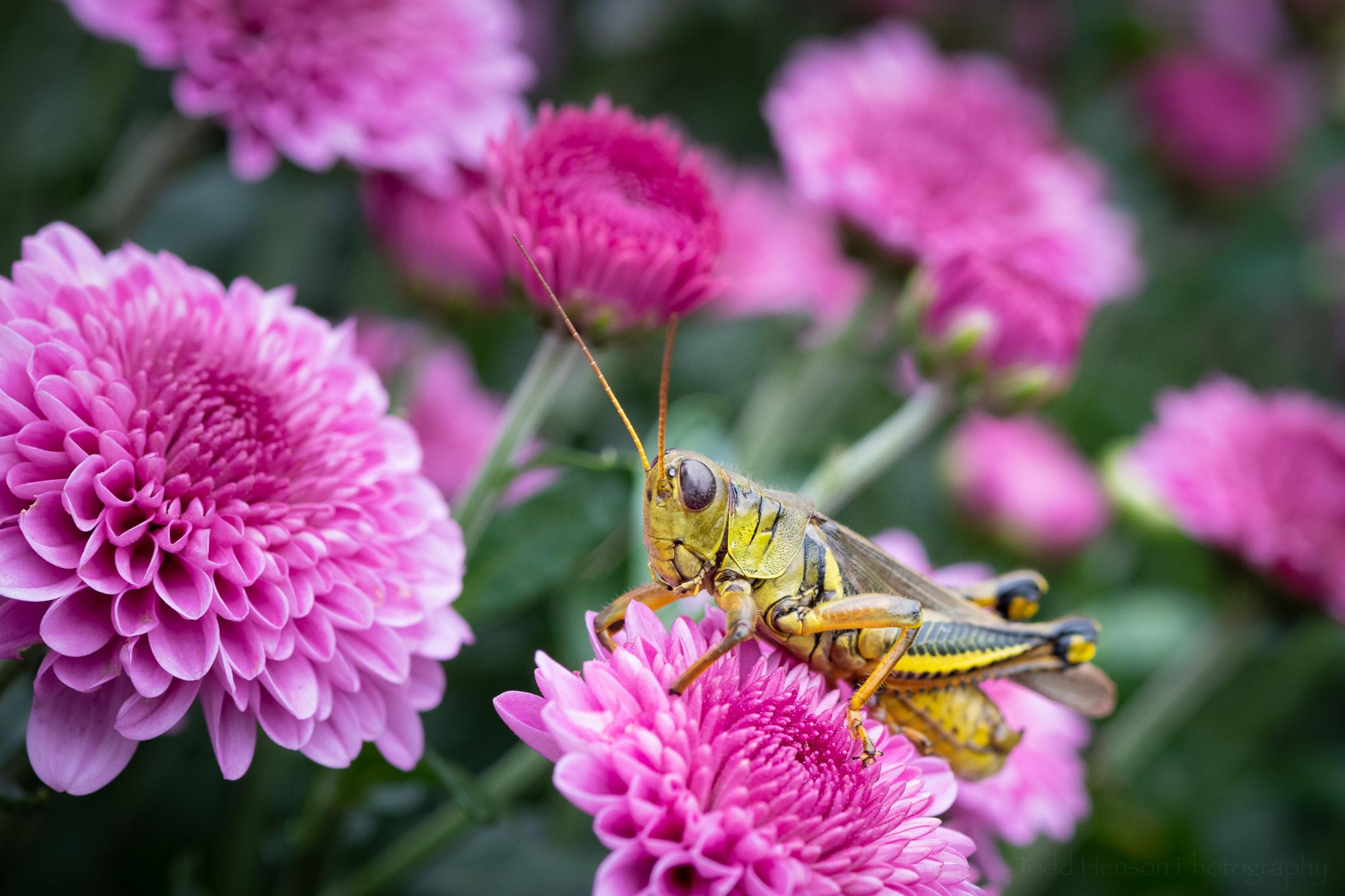 Amongst the Mums , a green grasshopper standing atop a pink chrysanthemum.