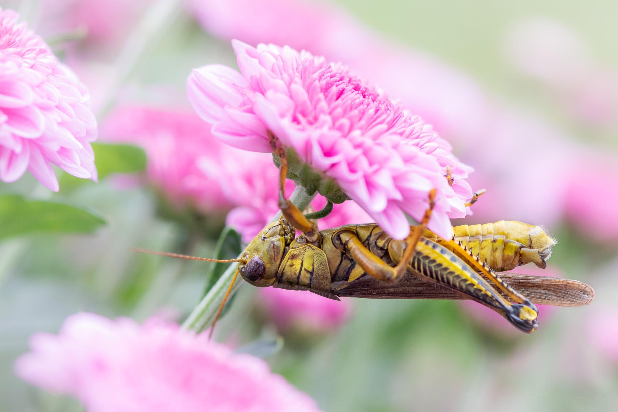 Under the Mum , the grasshopper hangs upside down under the chrysanthemum.