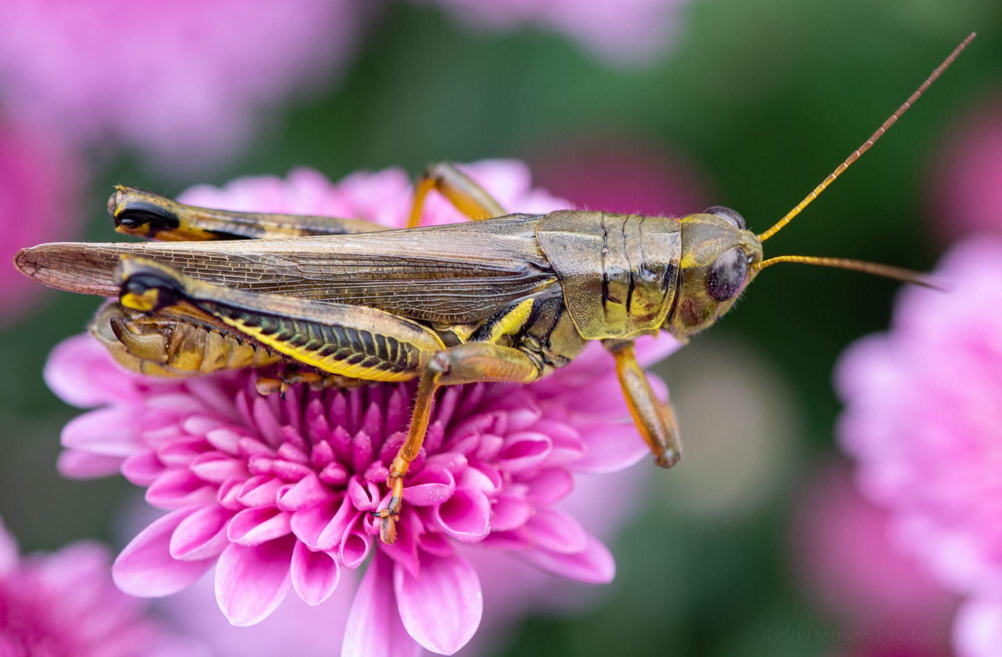 A grasshopper perched on a pink chrysanthemum.