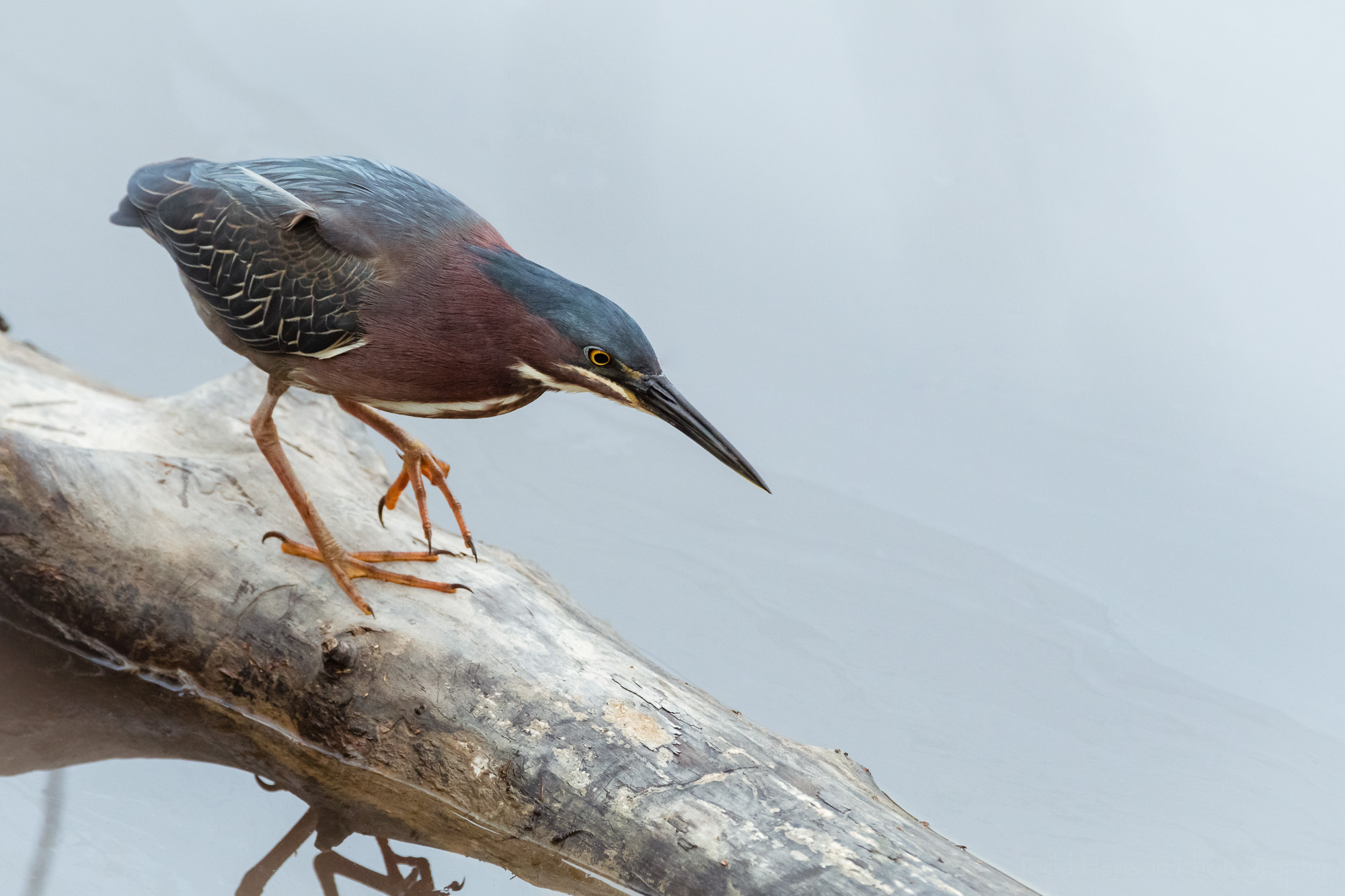 Focus: A Green Heron walking along a downed tree looking for its next meal.