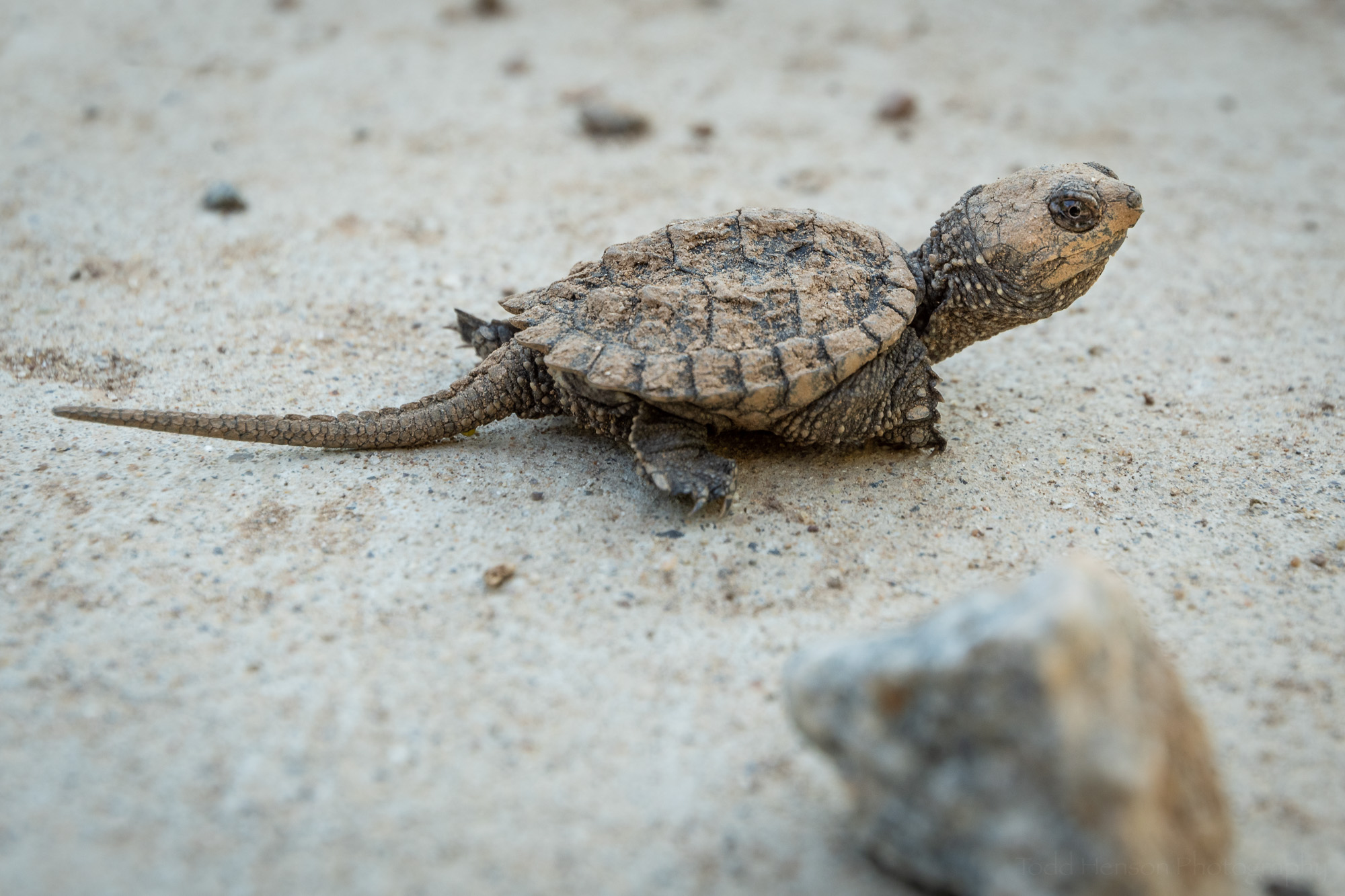 I created my favorite photograph of the Snapping Turtle hatchling after it left the pavement and rested in a more natural environment.