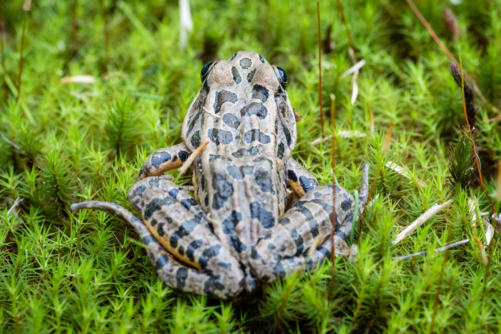 Viewing the Pickerel Frog from behind. You can see some of the yellow/orange of its underside and the squarish shapes along its back.
