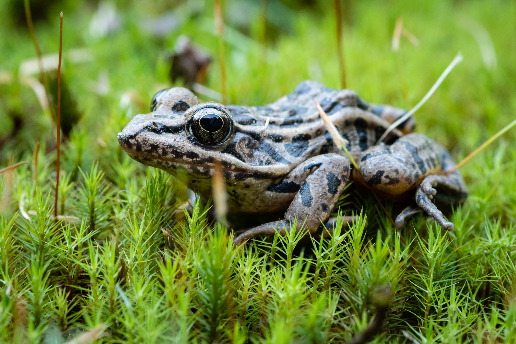 A nice simple mostly profile image of a Pickerel Frog.