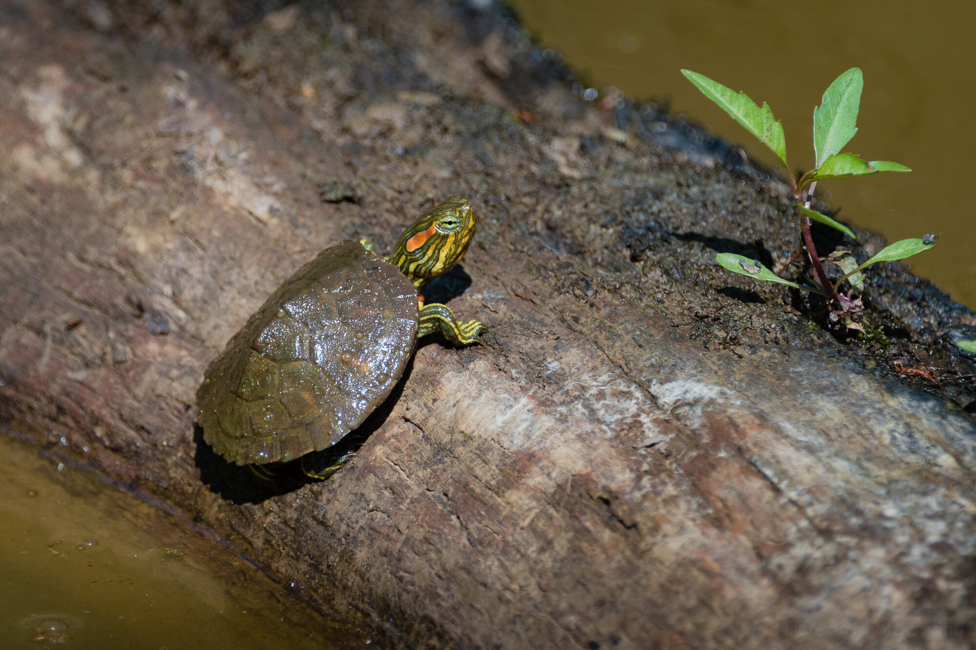 A small baby turtle slowly climbing out of the water onto a log, hoping for that nice quiet piece of sunshine to bask in.