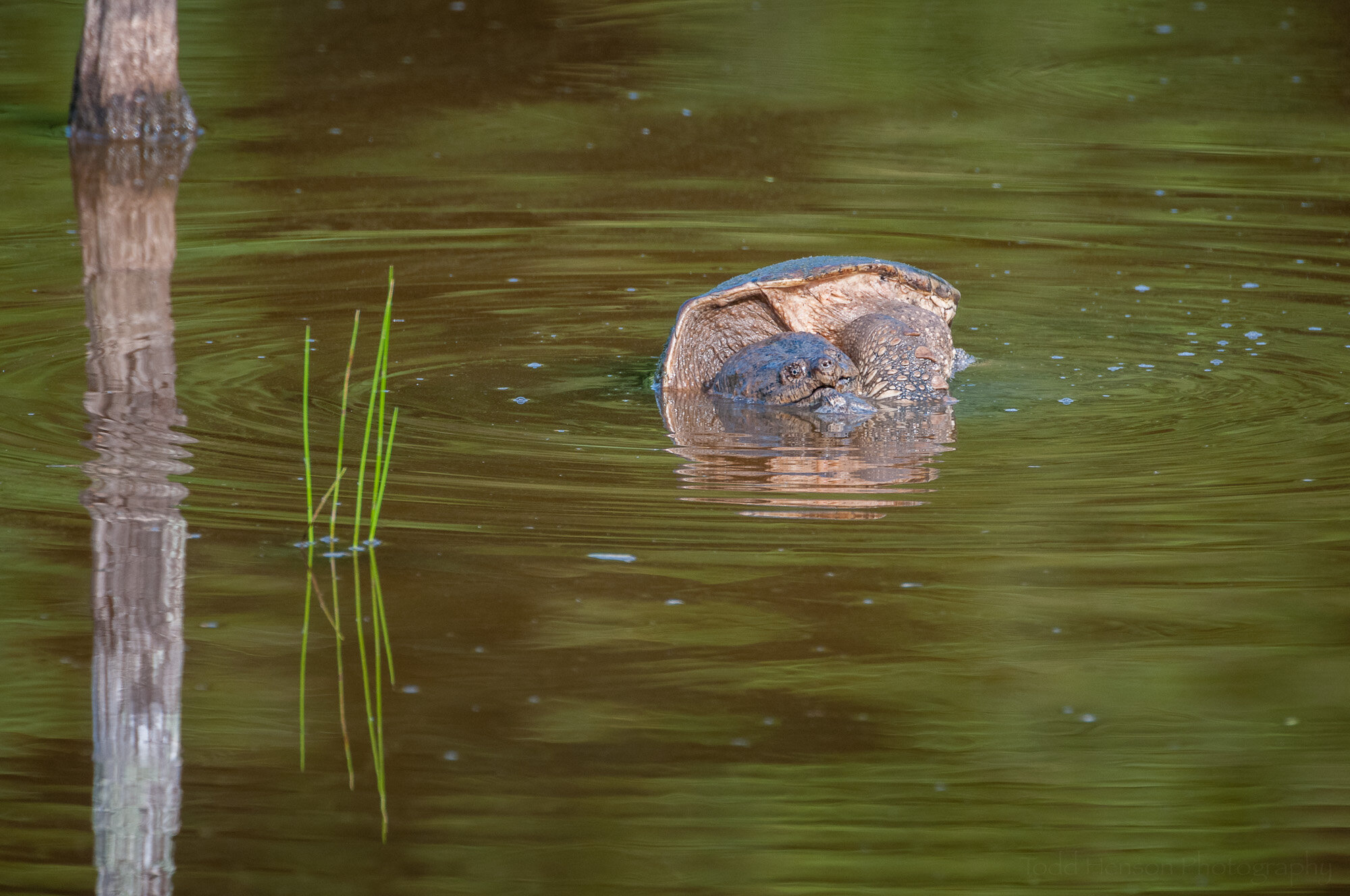 The male Snapping Turtle peeks its head above the water.