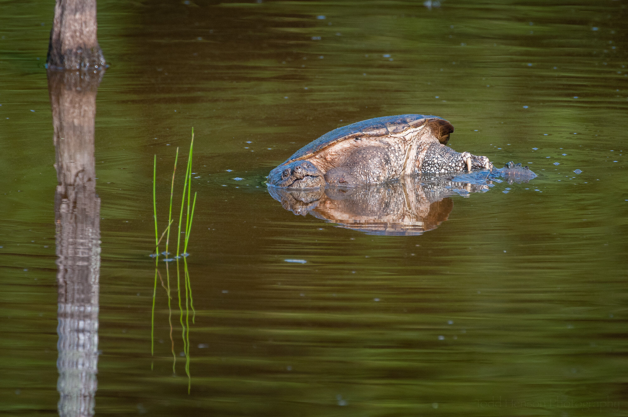 The reflections help create some interesting compositions, here with the male Snapping Turtle angled in the water above the female.