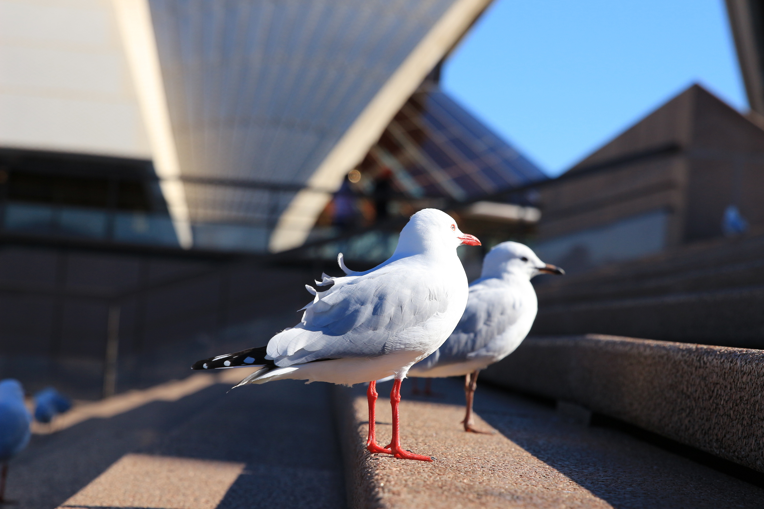 Loved how the feathers ruffled in the wind almost mimicking the opera house.