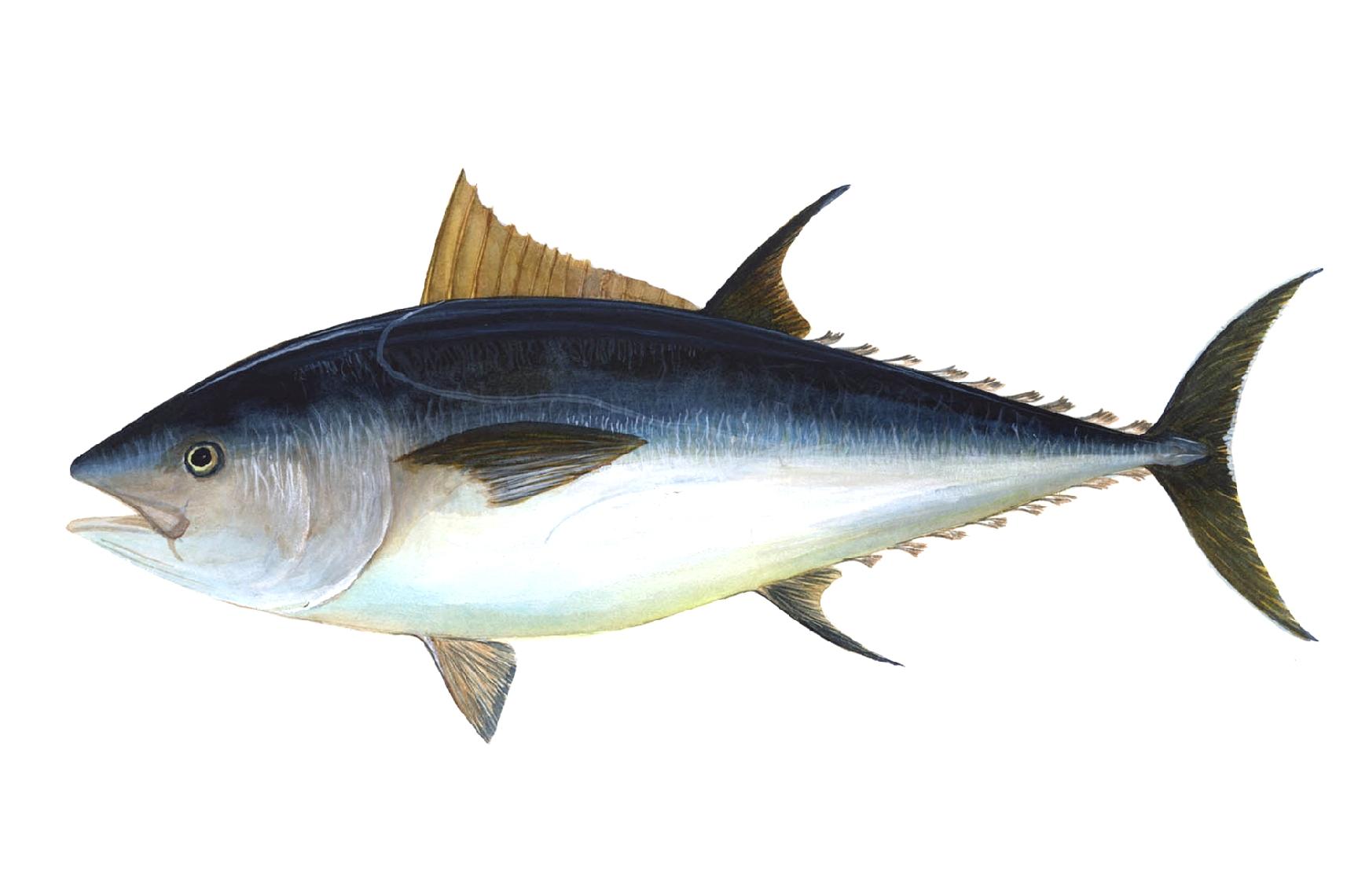 A fish.
