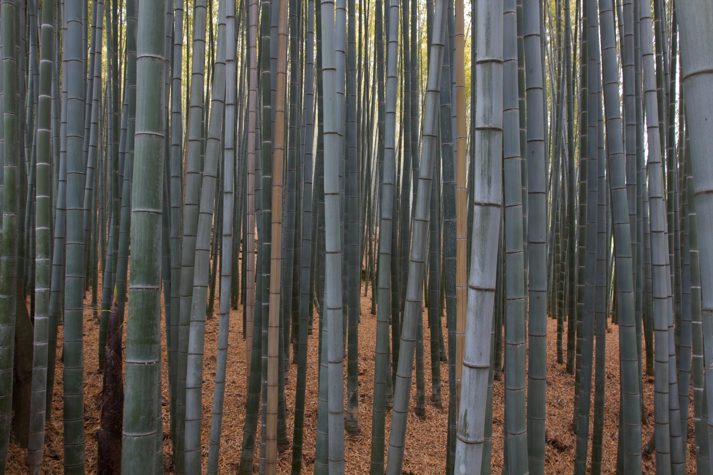 Bamboo Grove, Kyoto (2).jpg
