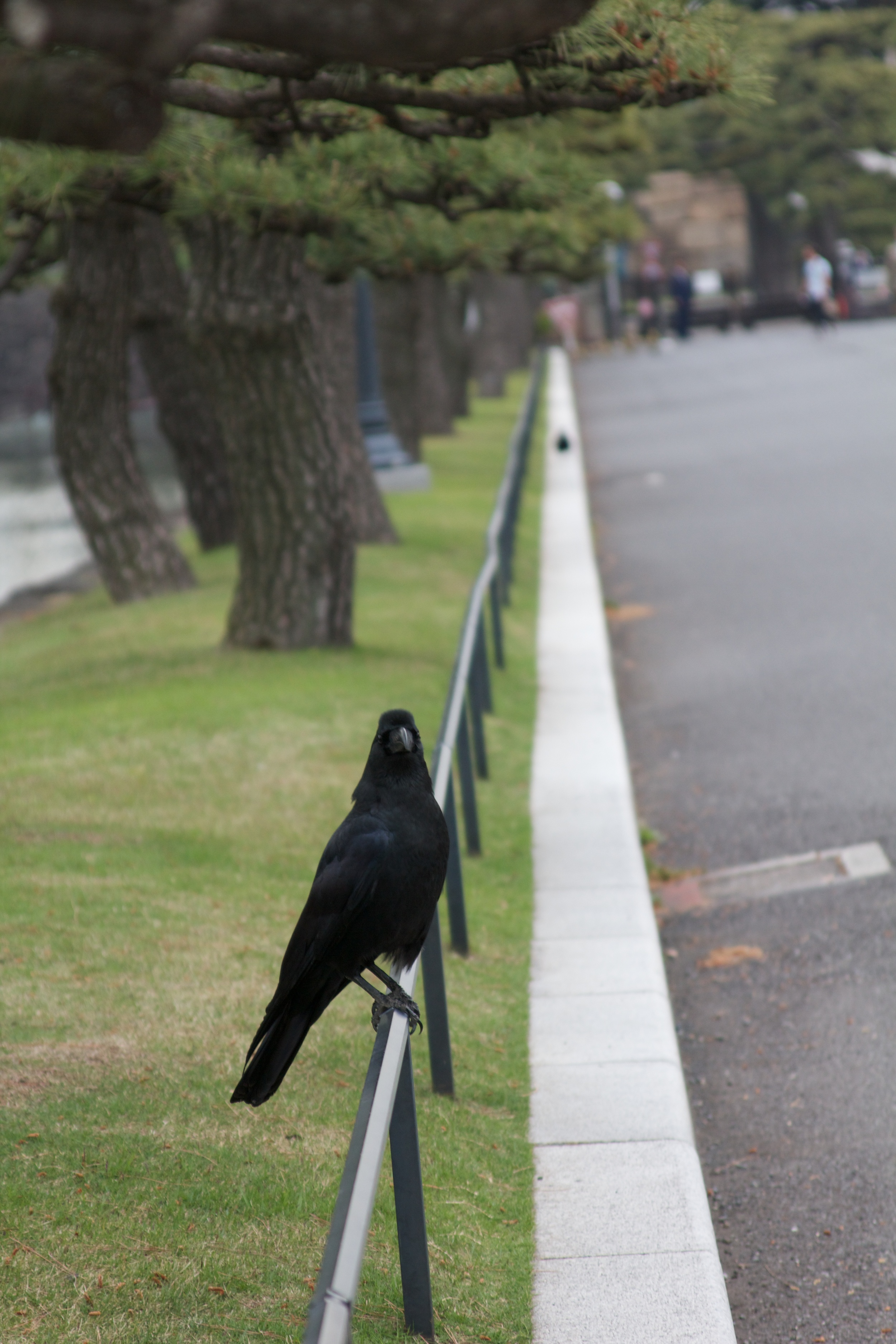 Crow, Tokyo.jpg
