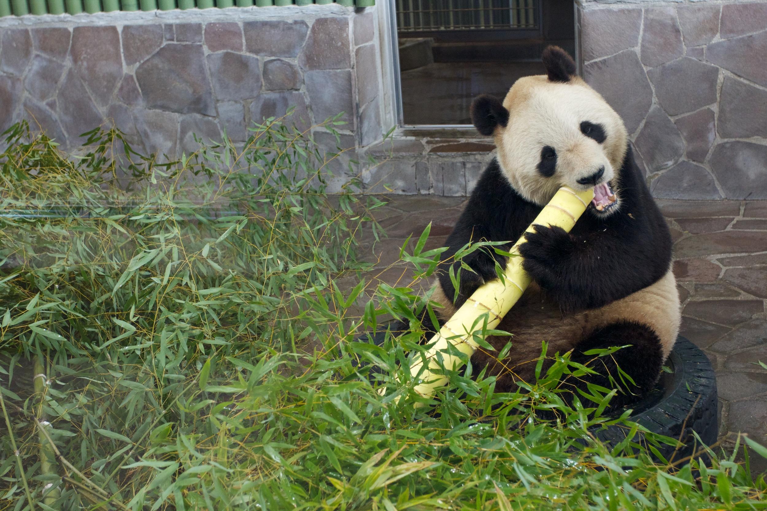 Pandas, Kobe Zoo (2).jpg
