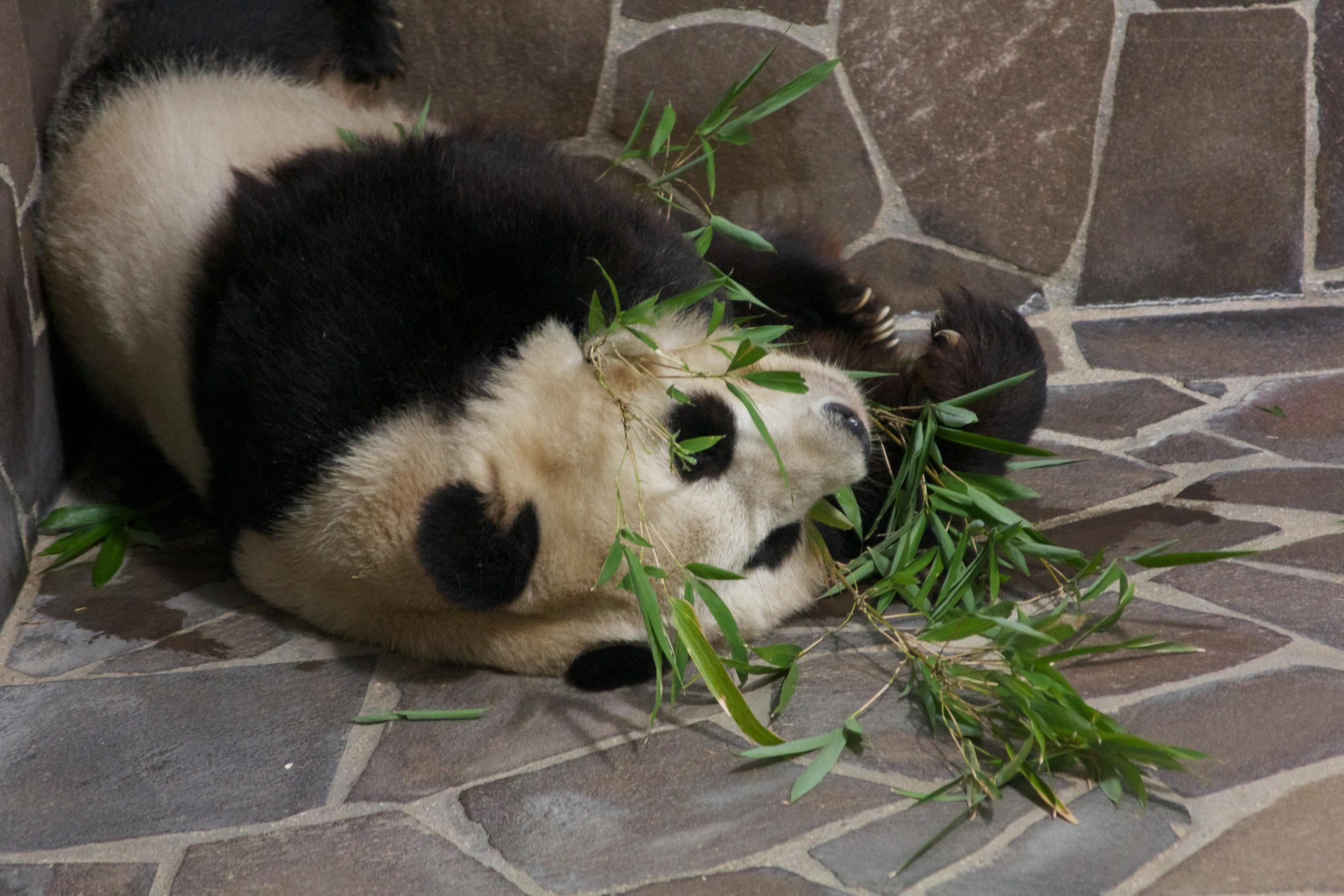 Pandas, Kobe Zoo.jpg