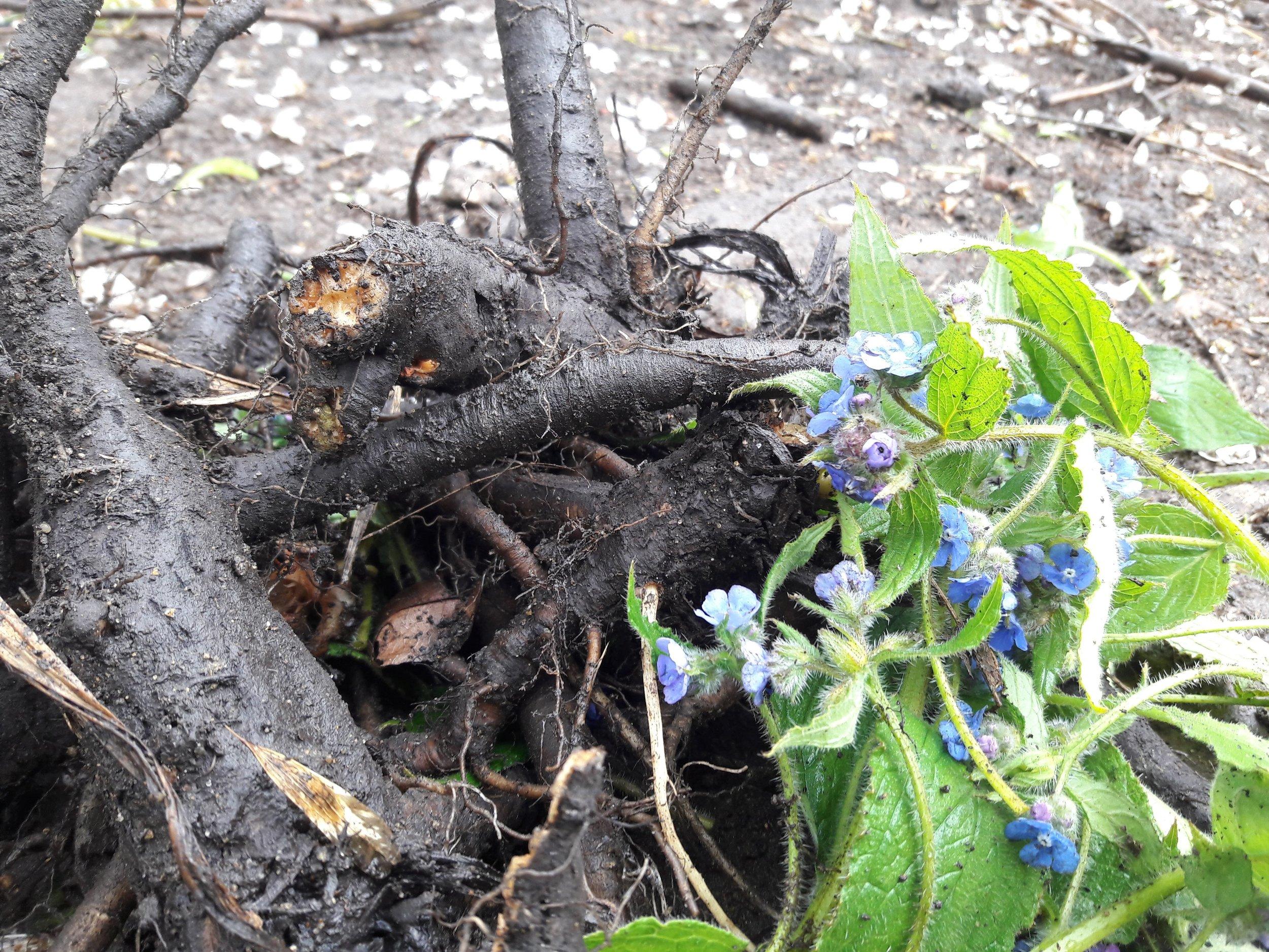 Alkanna Tinctoria plants have huge tap roots