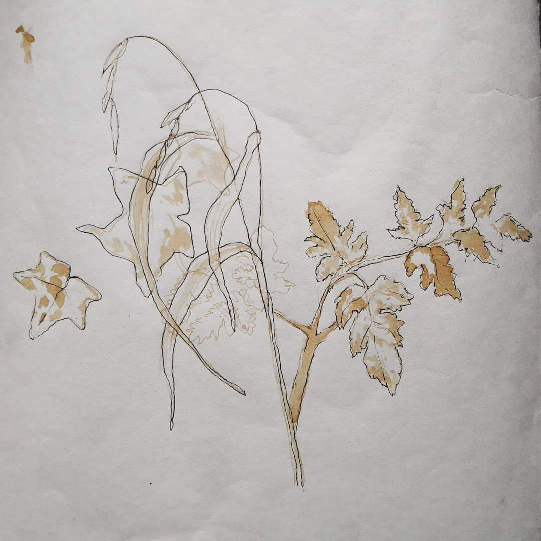 Oak Gall Ink study - Ivy and Cow Parsley