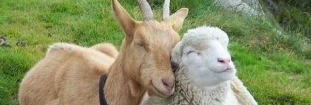 sheepgoatbig.jpg