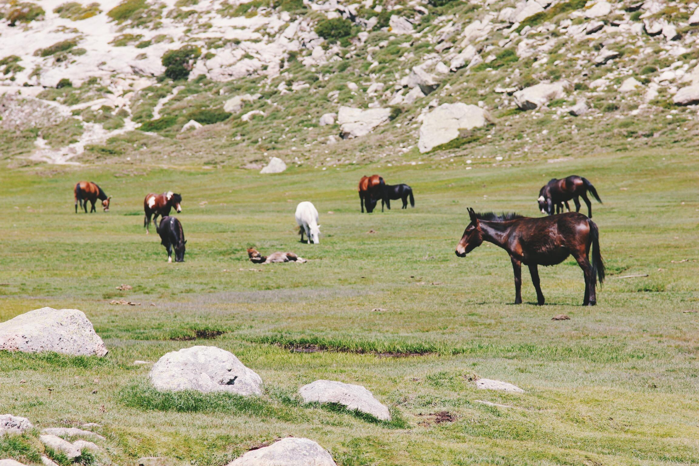 chevaux-horses-corsica-lake.jpg