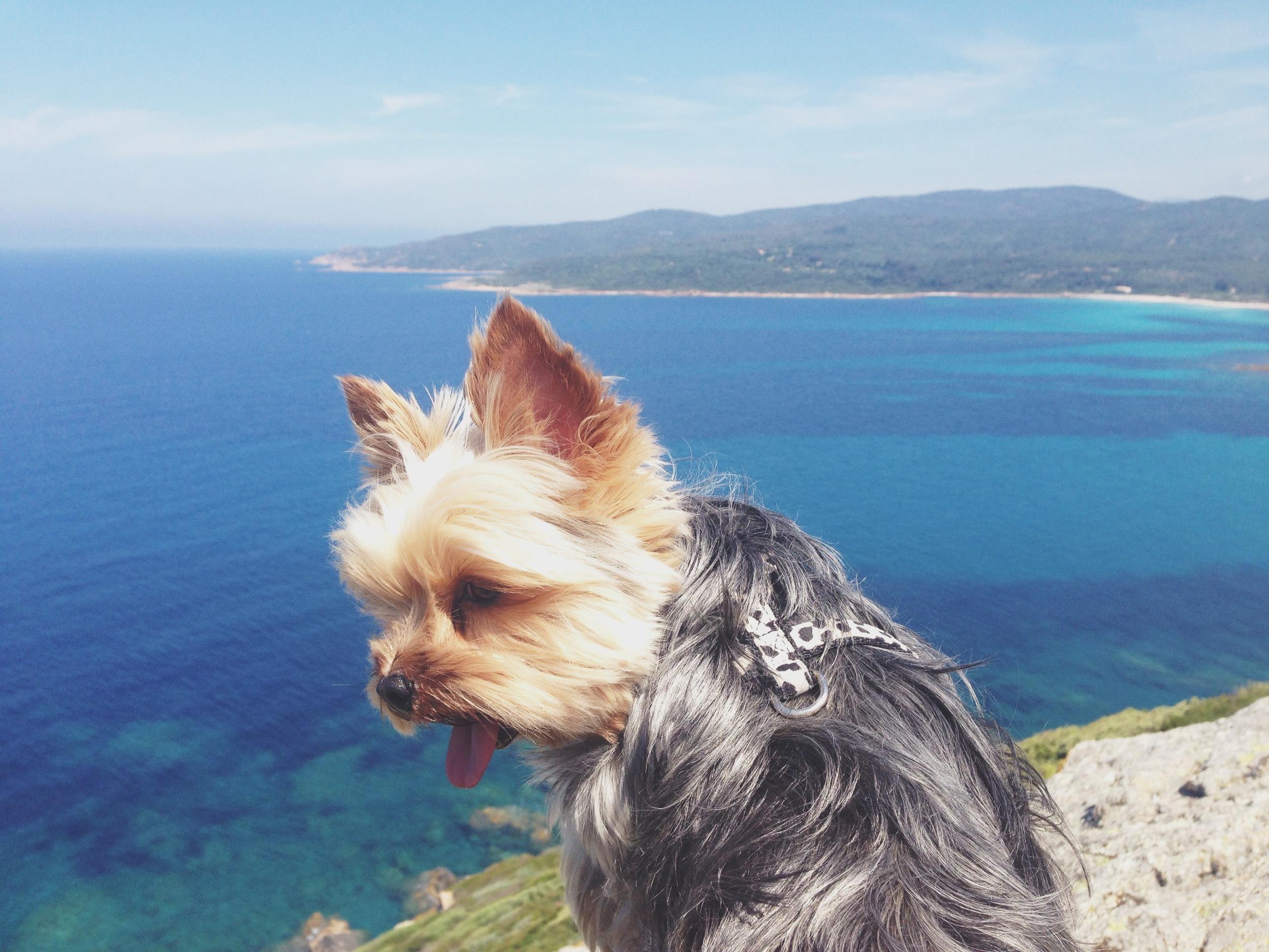 fayanna-yorkie-yorkshire-terrier.JPG