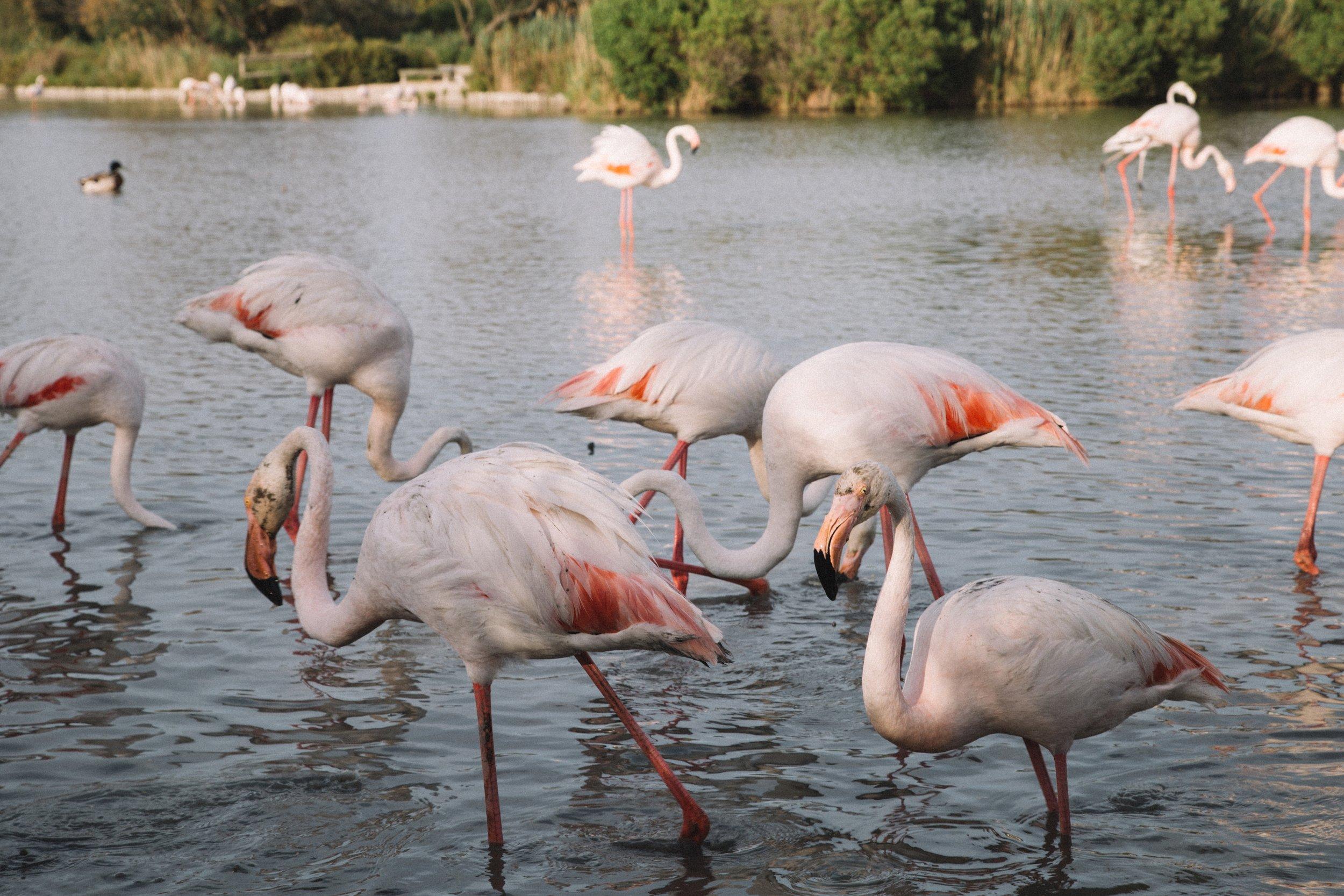 Pont-de-gau-parc-ornithologique-flamantsroses-.jpg