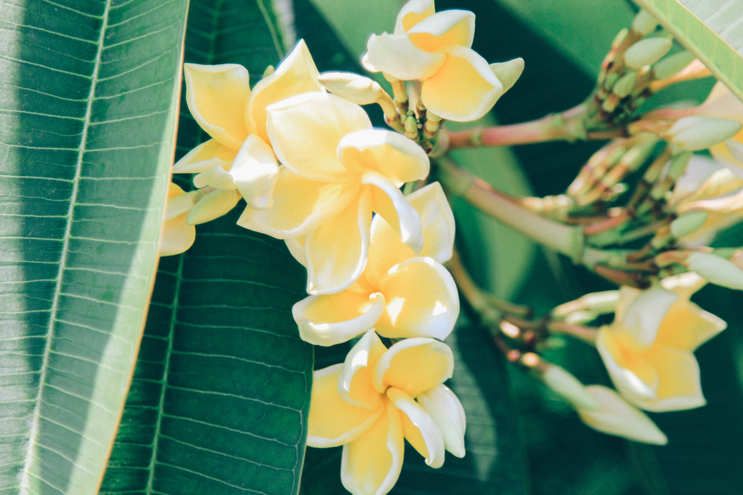 frangipani-gili-Air.jpg