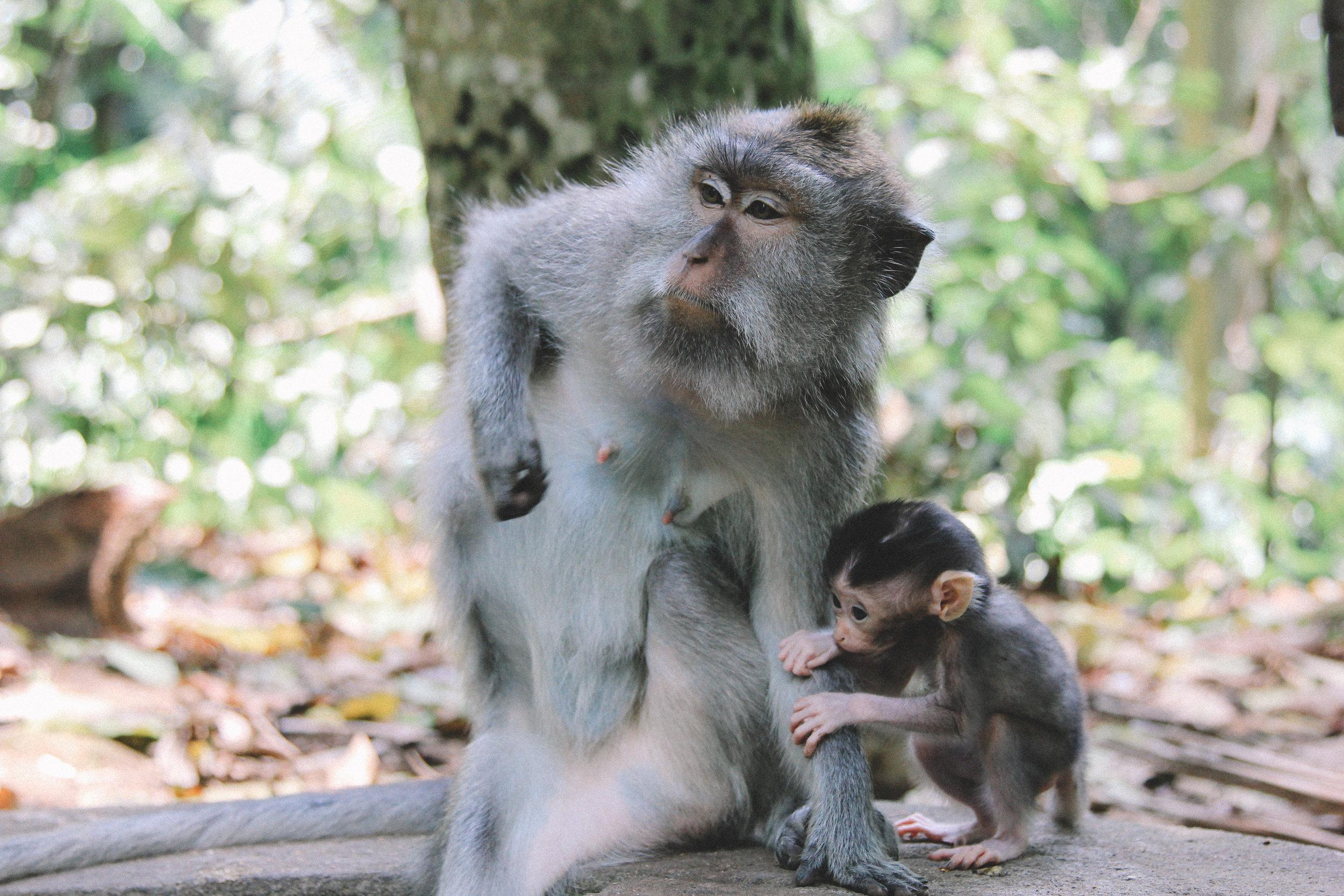 monkey-forest-ubud-bali-indonésie.jpg