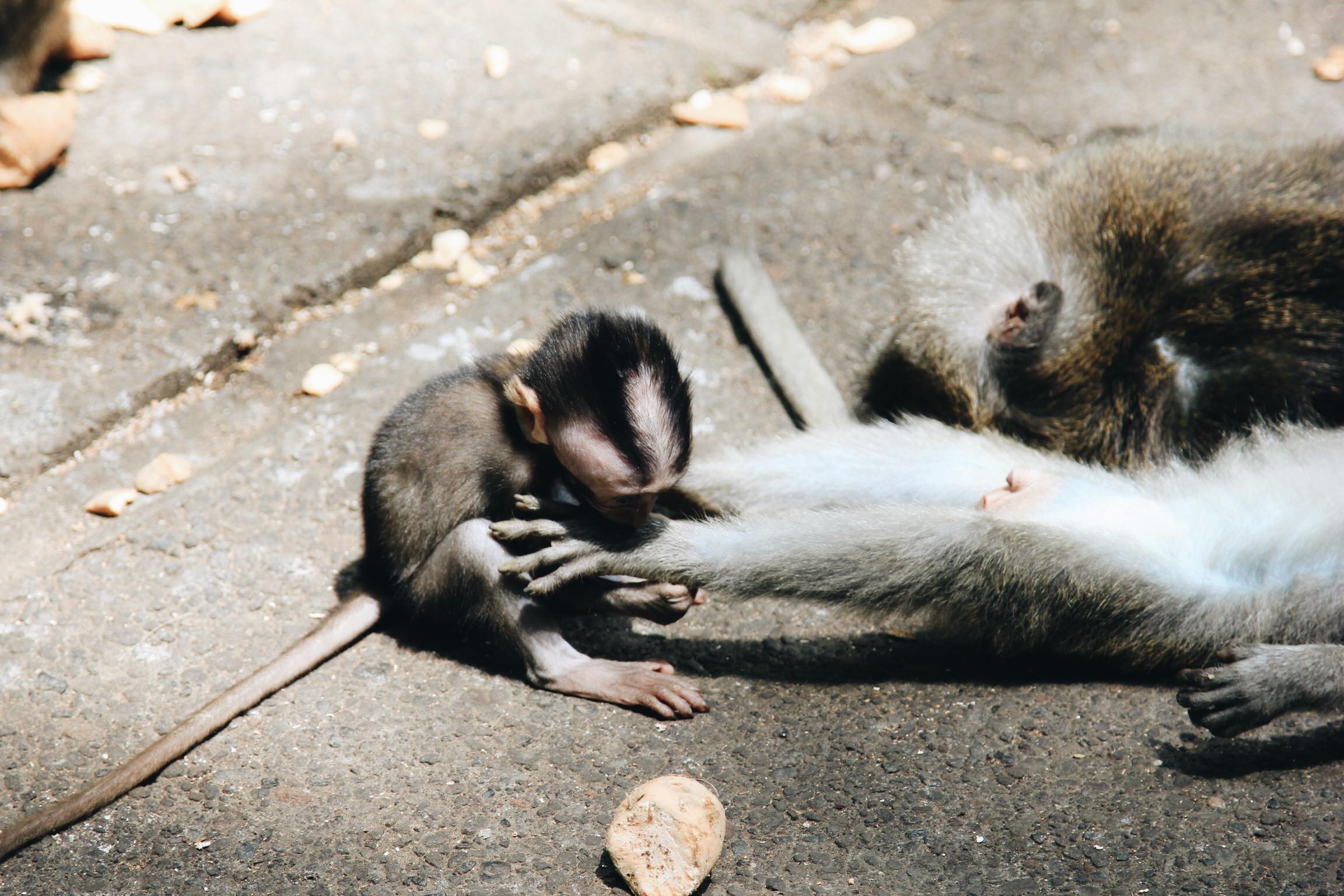 singe-ubud-bali-monkey-forest.JPG