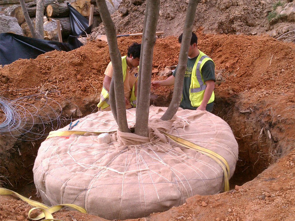 Mature tree installation in Mclean, VA.