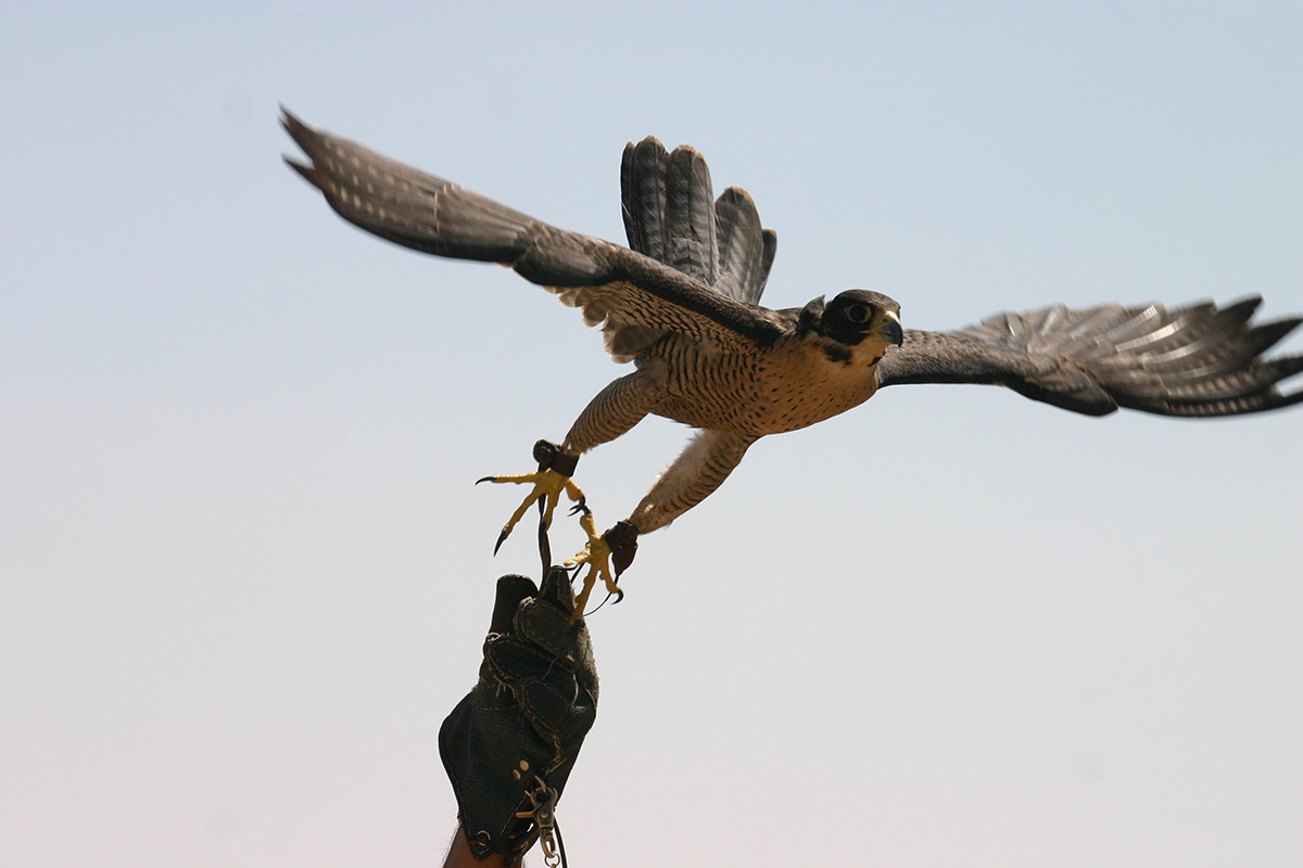introductory-falconry-01164007.jpg