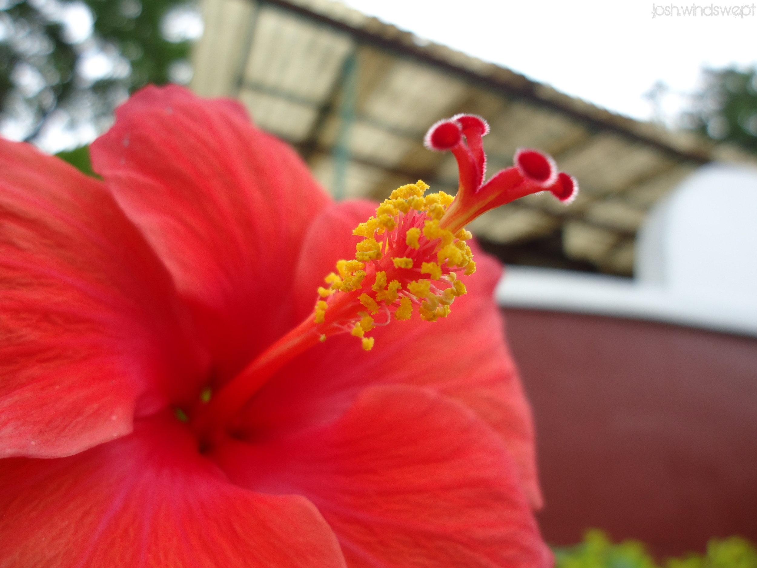 Le pollen est très visible chez certaines espèces, comme chez cet hibiscus rouge. Il permet d'assurer la reproduction de la plante et donc la survie de l'espèce !