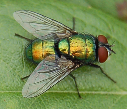 Même la mouche verte est un pollinisateur !