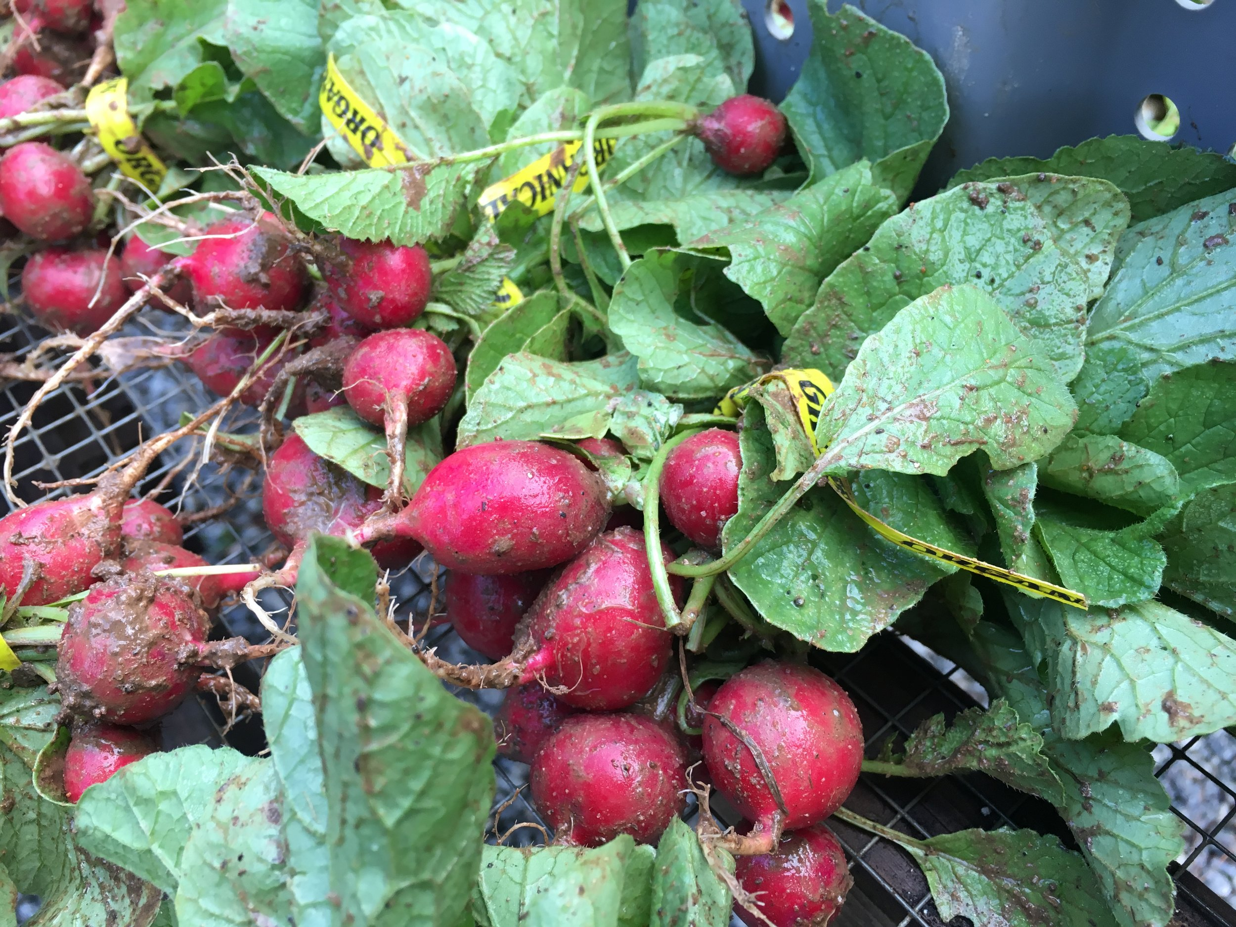 Eagle grown radishes