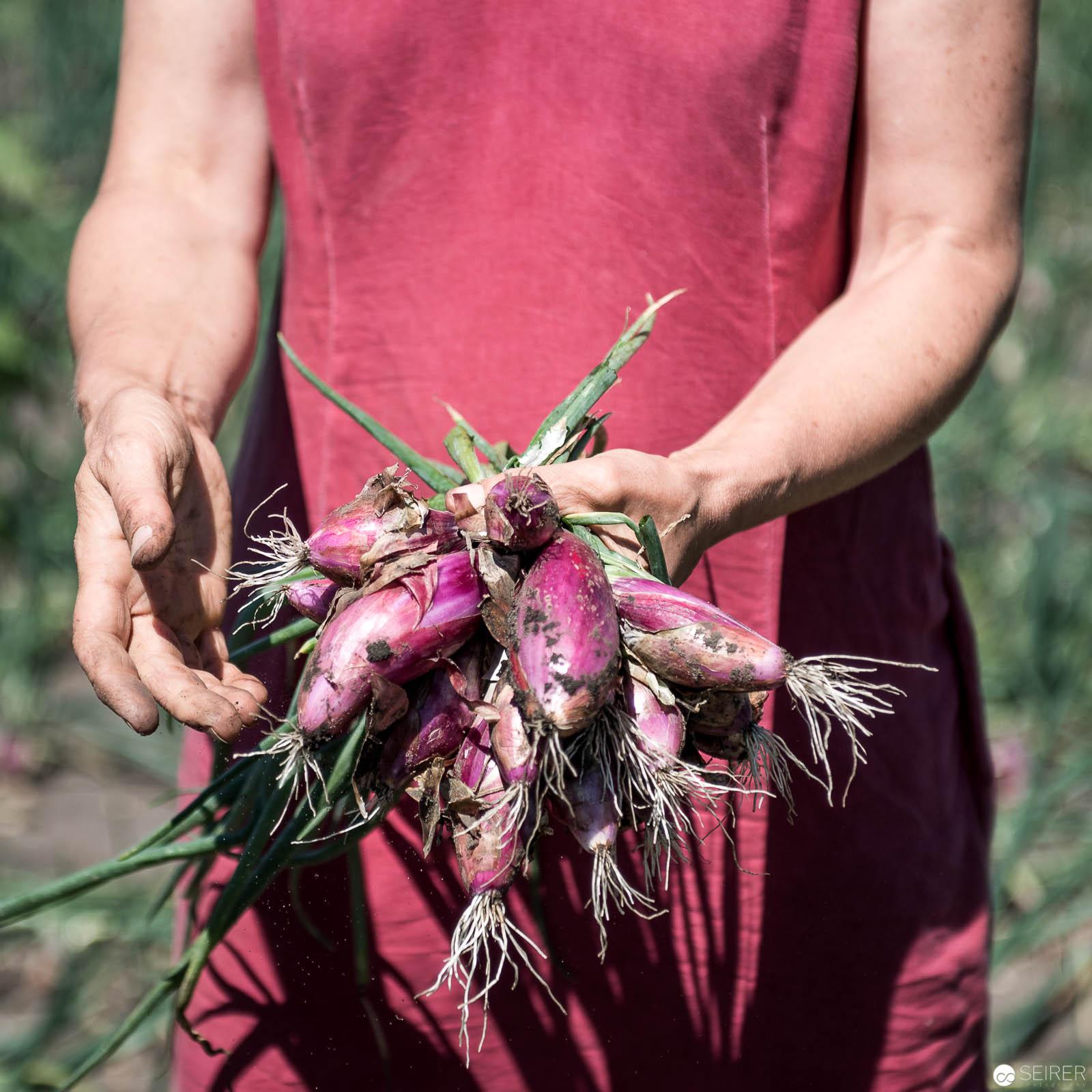 Zwiebel direkt vom Feld geerntet - von Stekovics