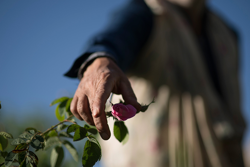 a close-up of Javad jafari's hand picking a rose