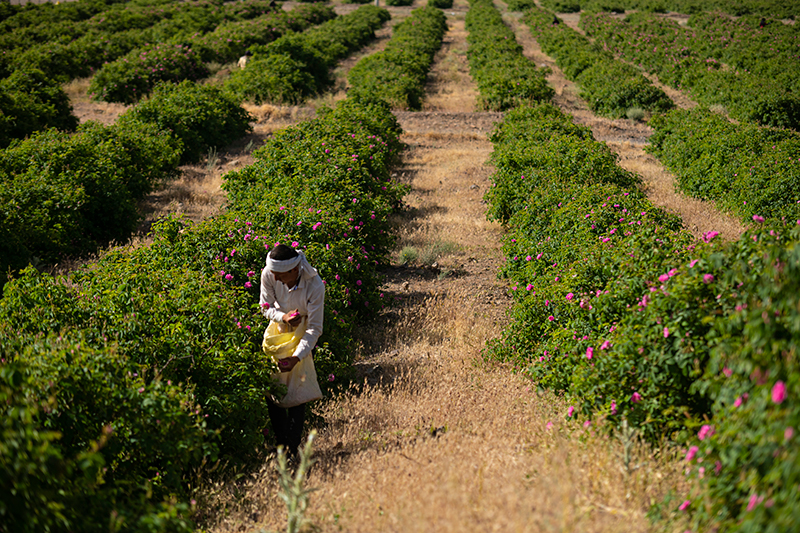A worker hand picking roses in the 900 Jaribi land in Qamsar.