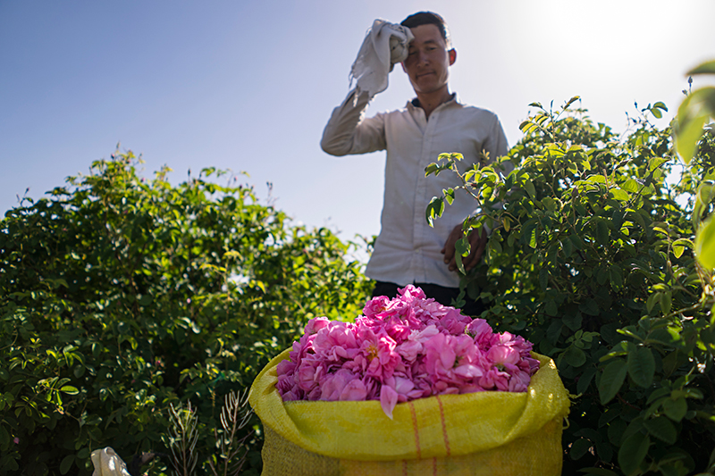 a worker taking a rest after a hard work of handpicking roses in the 900 Jaribi land.