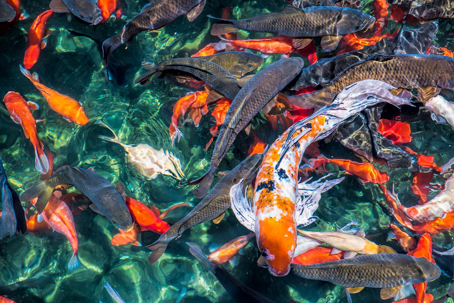Koi after Topaz Clarity Filter has been applied.