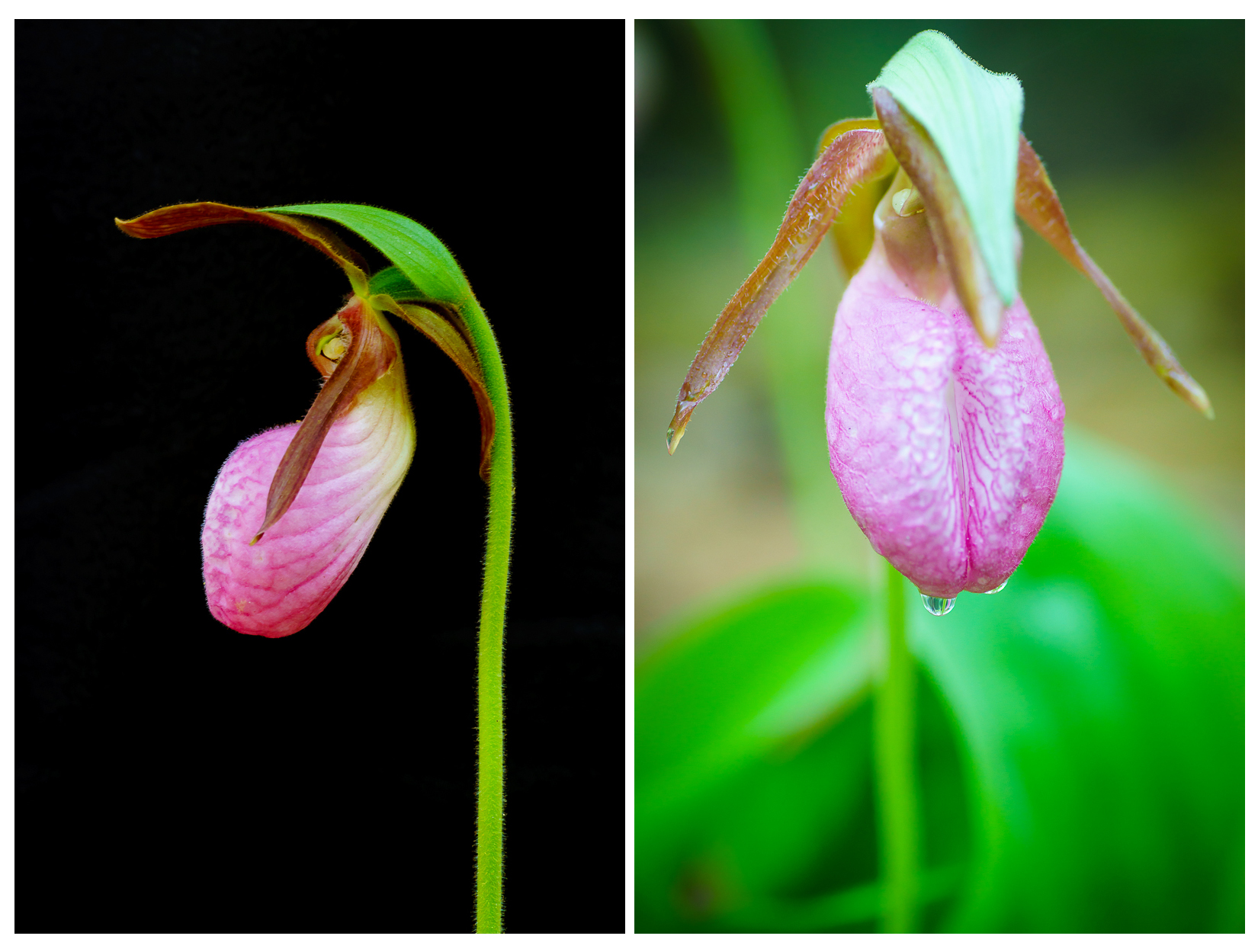 pink_lady_slippers