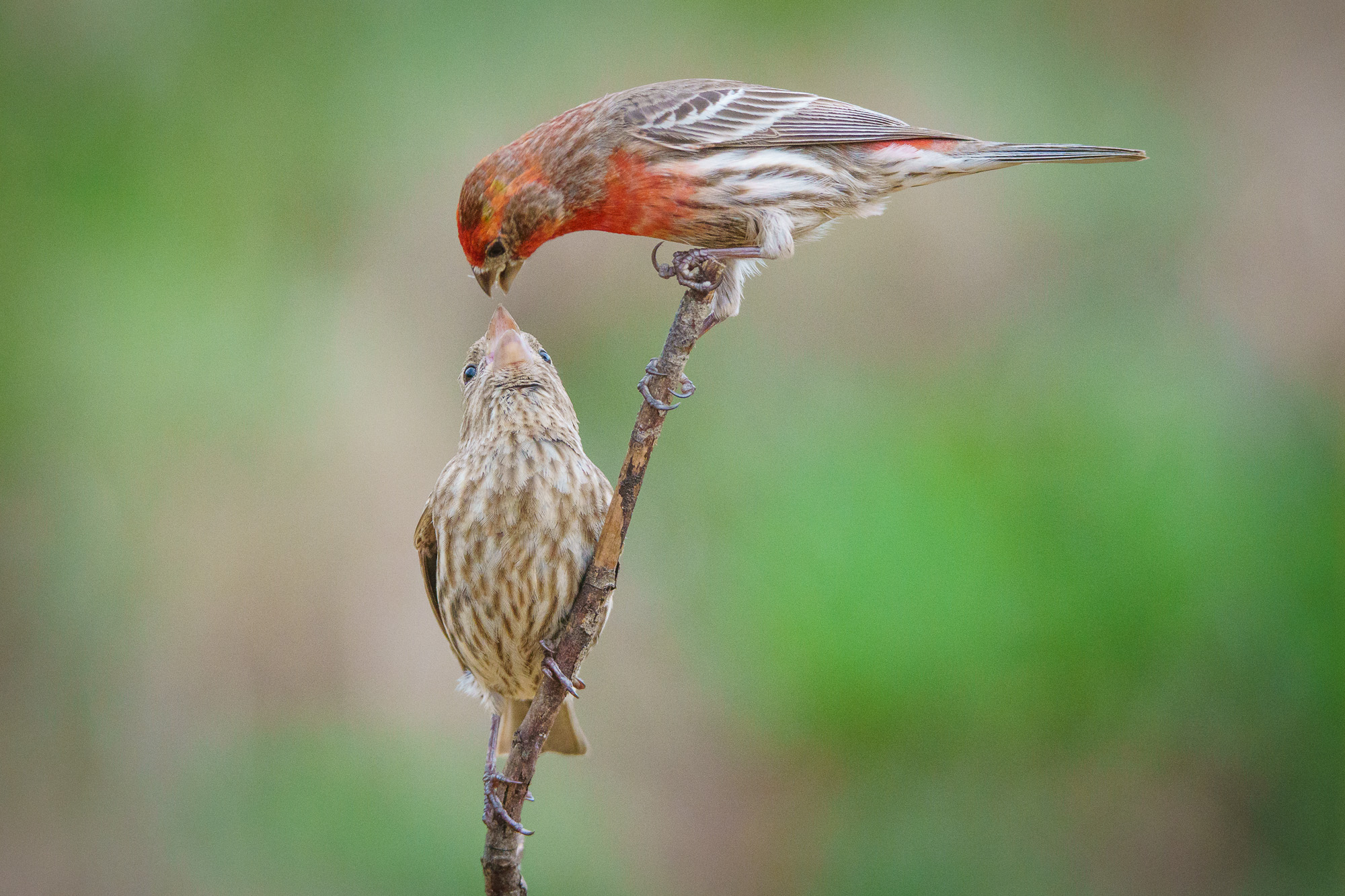 finches kissing